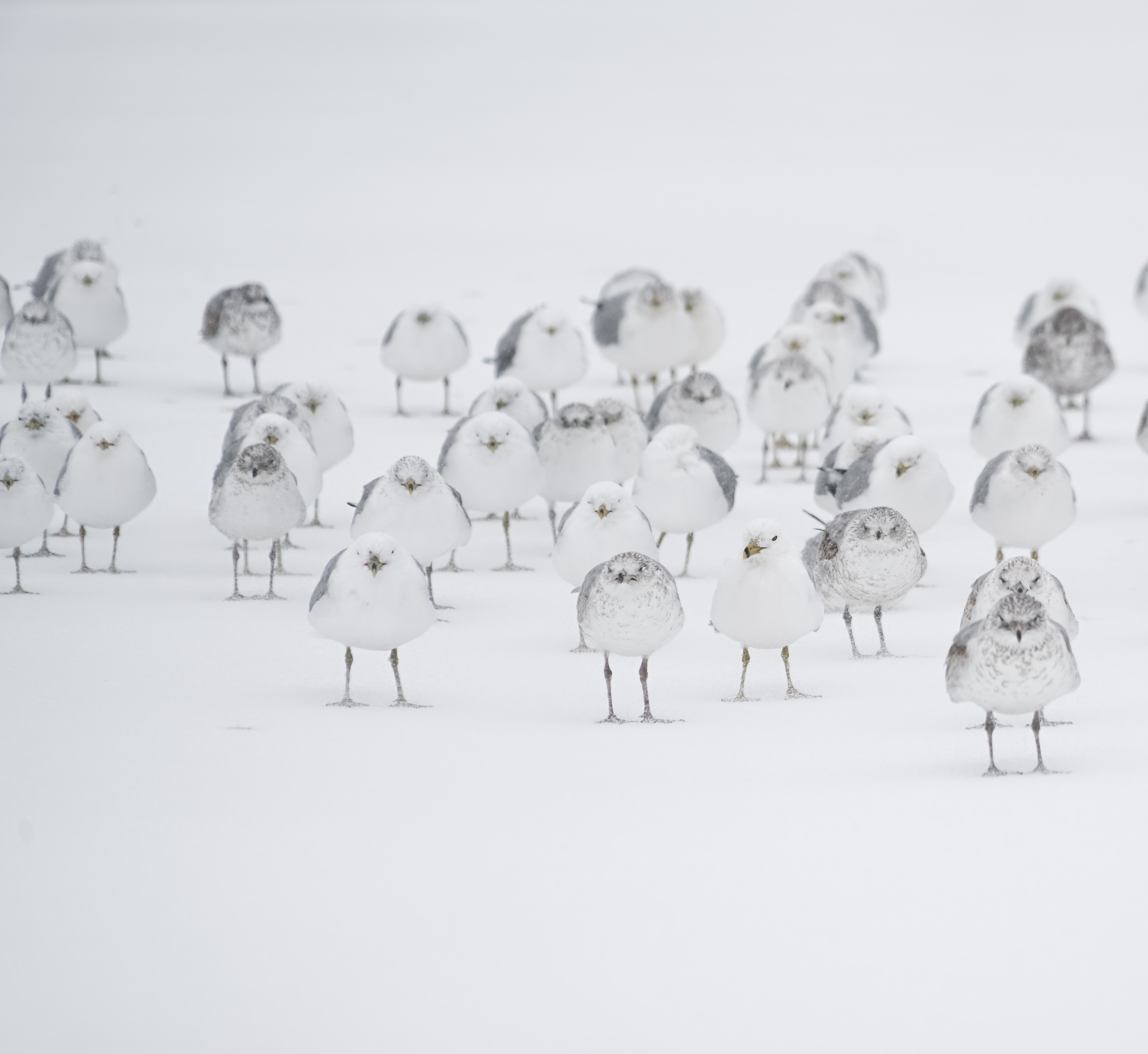 A flock of white birds on snow