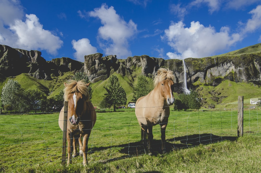 two brown horses standing near fence on grass field