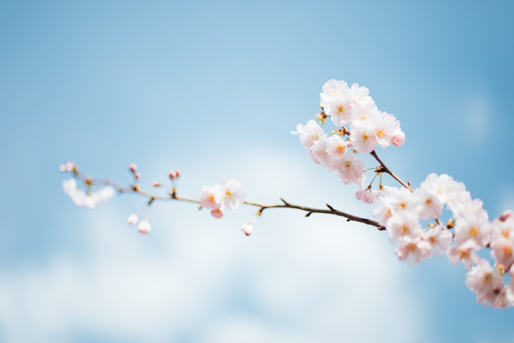 Spring flower blossoms on branch photo by anthony delanoix spring flower blossoms on a branch with a blue sky background mightylinksfo