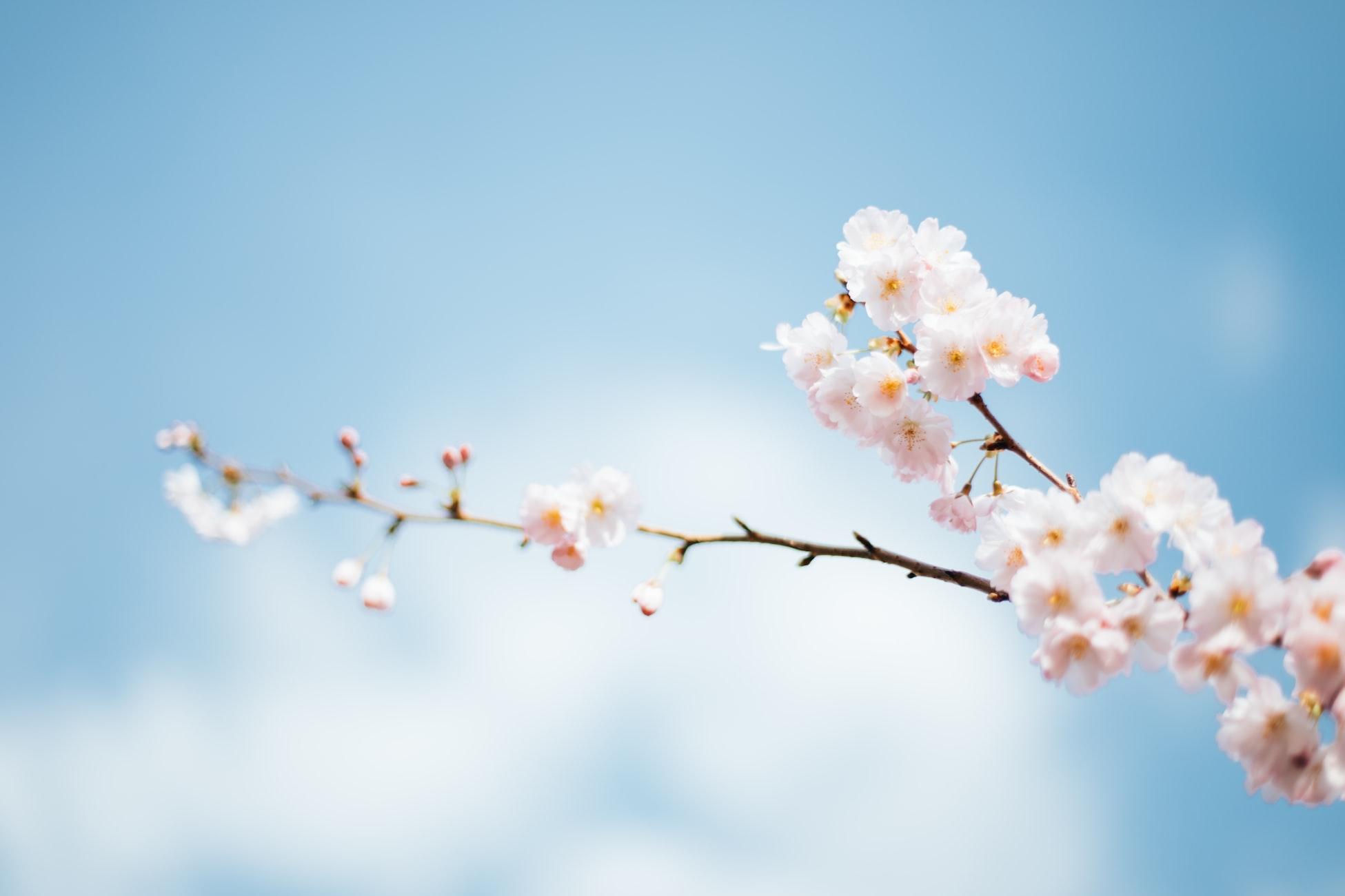 Anthony DELANOIX - Paris, France Spring flower blossoms on branch
