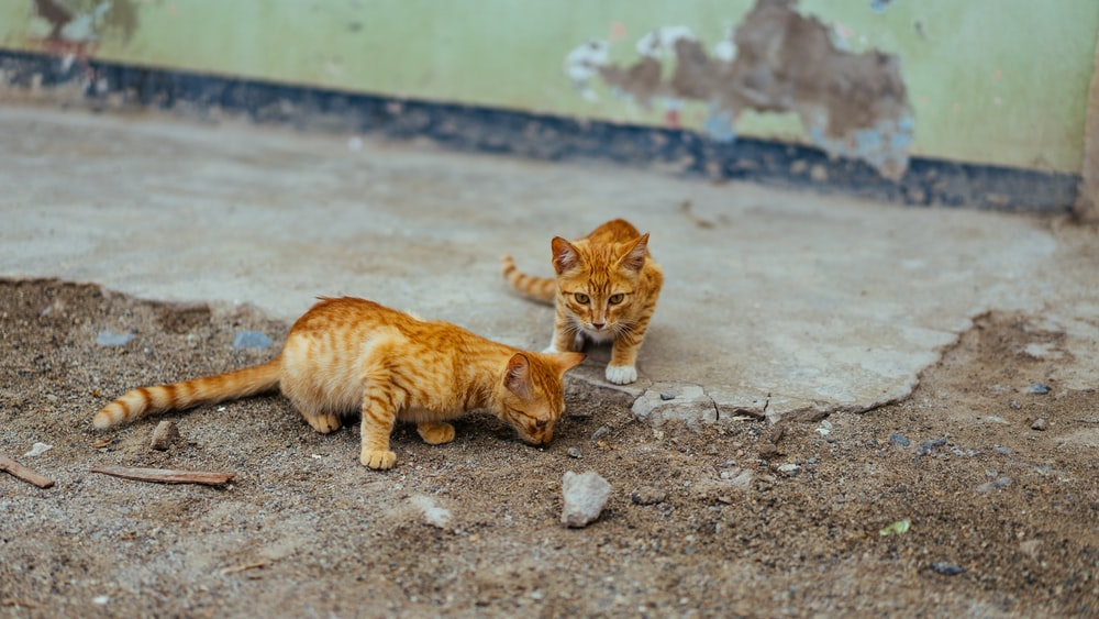 two brown cat on soil