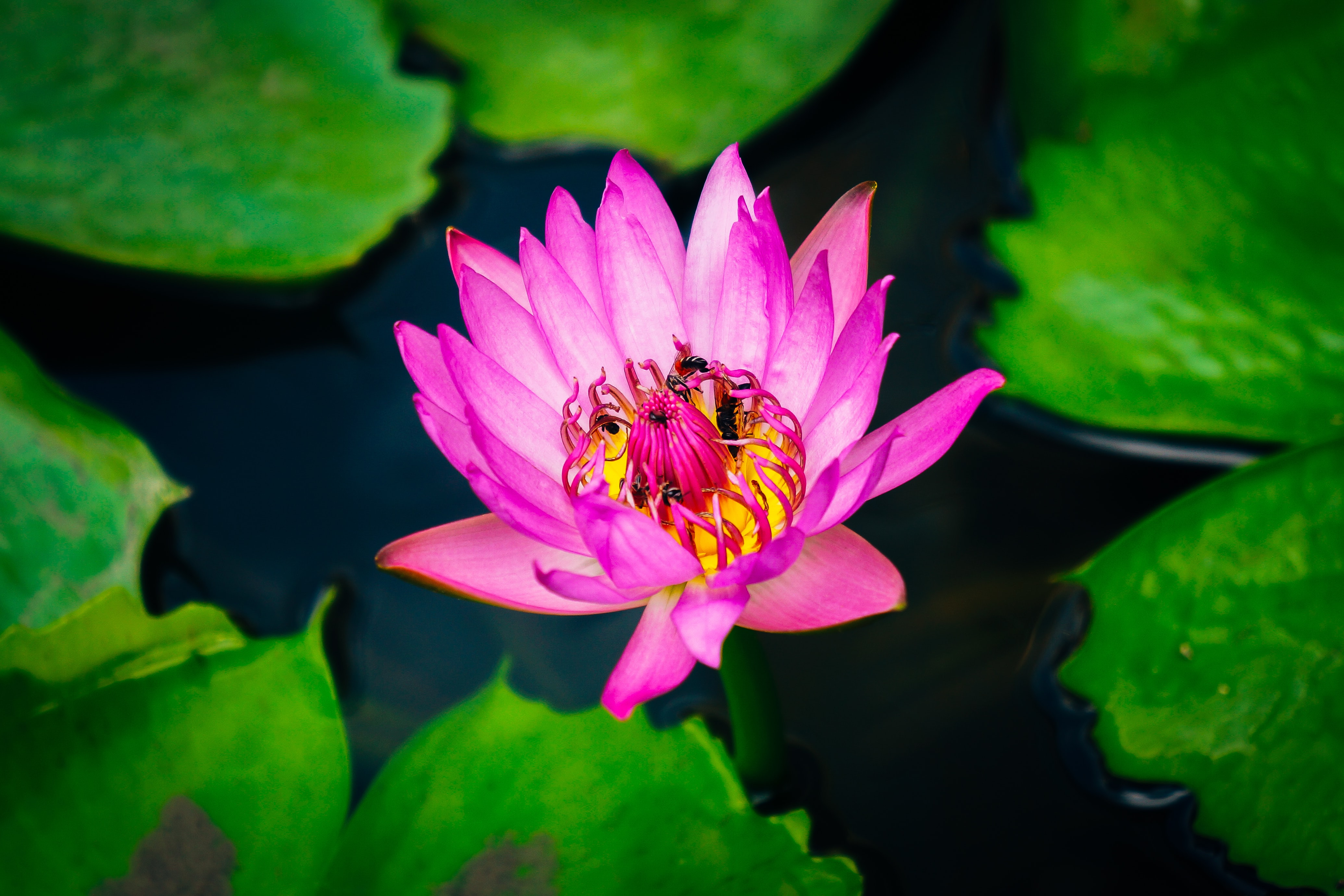Several bees gathering pollen in a pink water lily