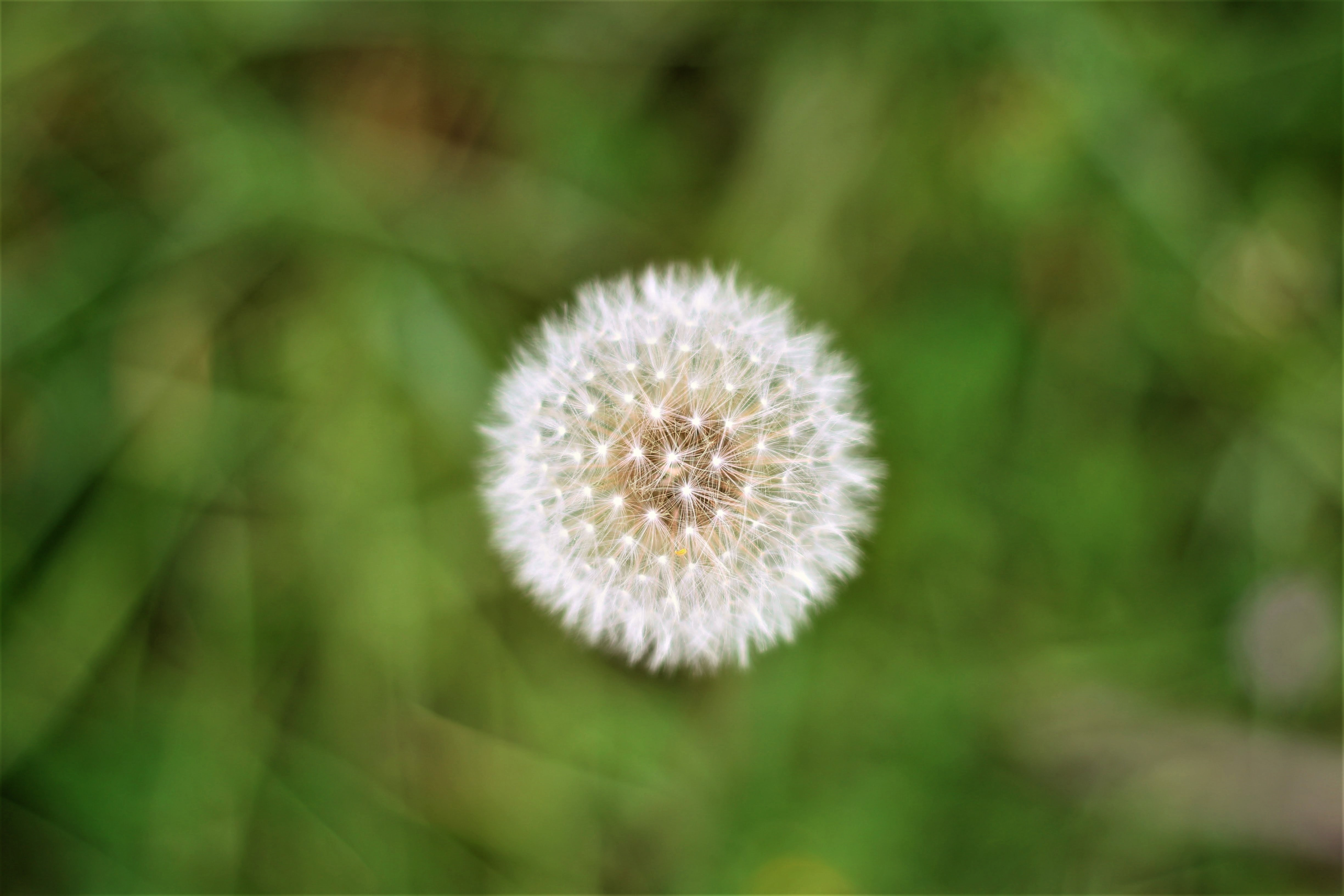 close up photo of dandelion flower