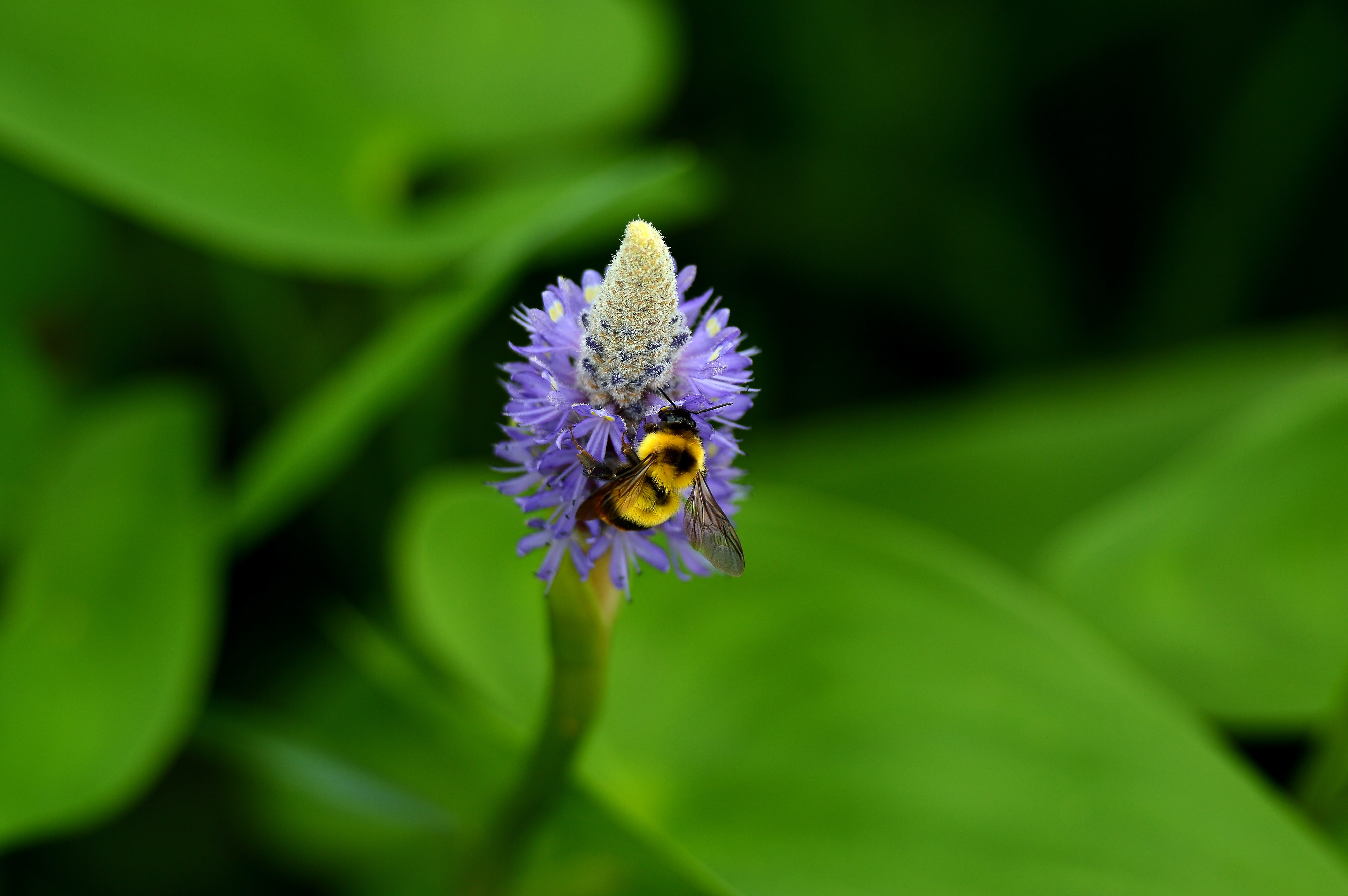 Bee pollinates a purple flower near leaves