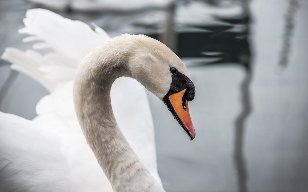closeup photo of mute swan