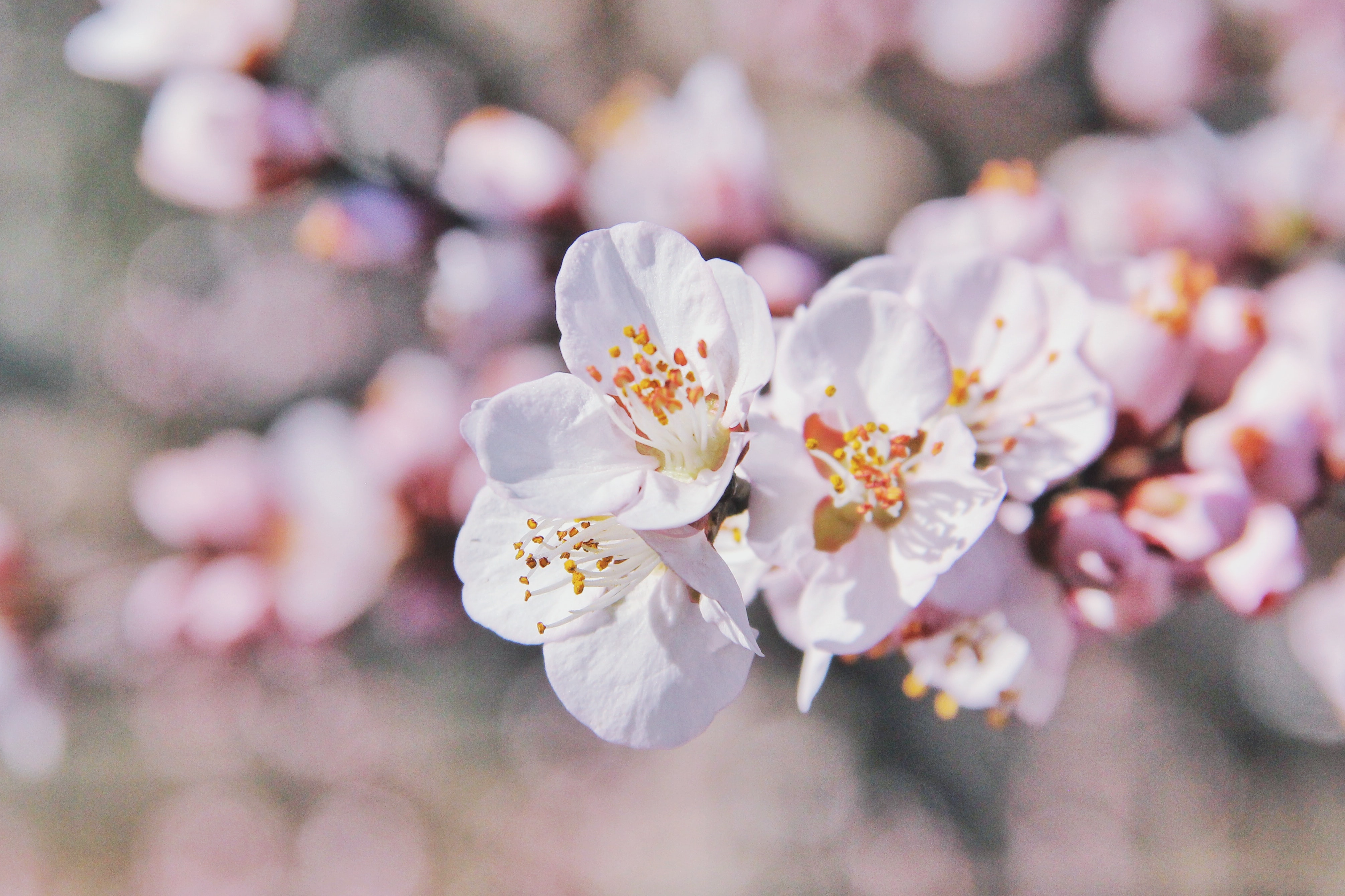 Macro of pink cherry blossom on branch with blossom in background in Spring