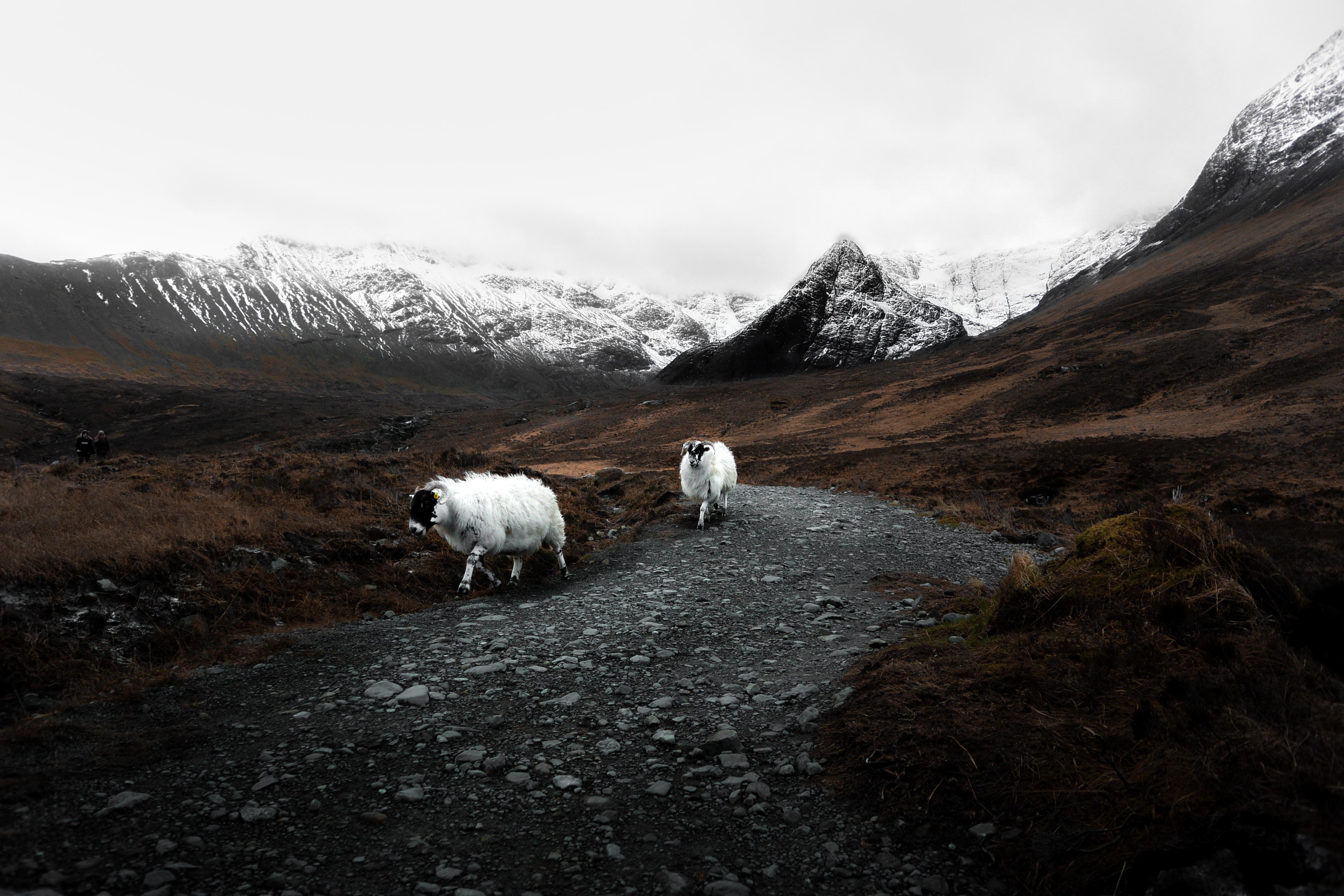 two white sheeps walking near snow-capped mountains