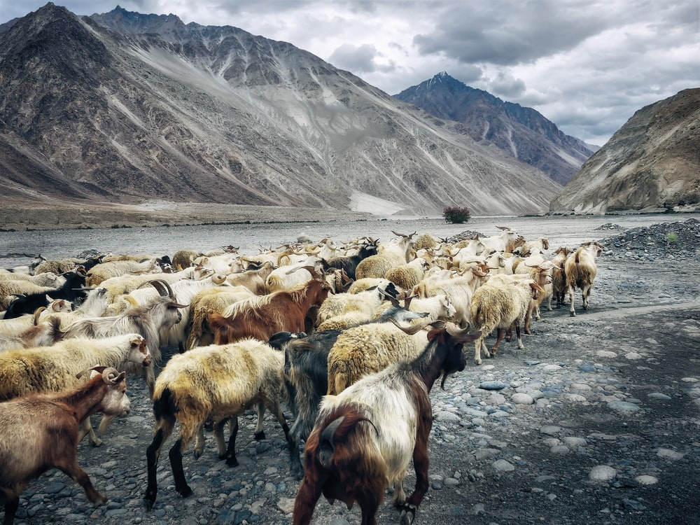 herd of goats walking beside lake near mountains