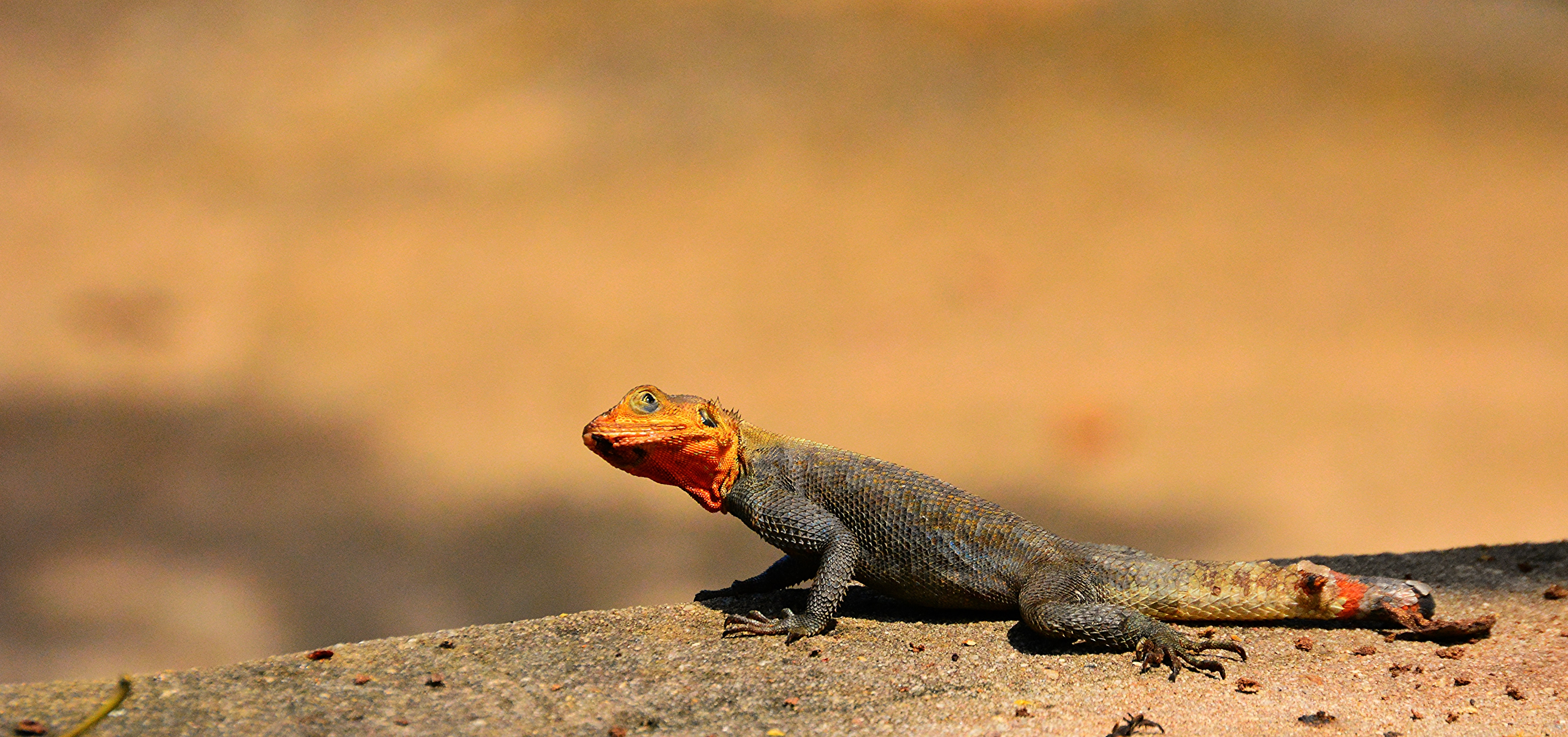 An orange headed lizard with a black body on stone beside a blurred outdoor background