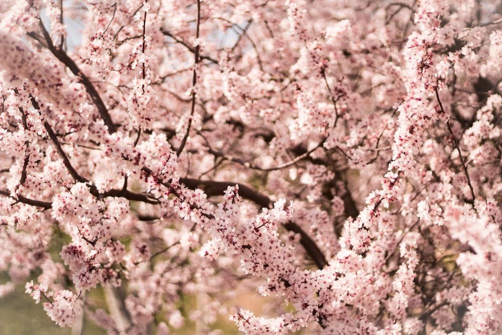 closeup photo of cherry blossom tree