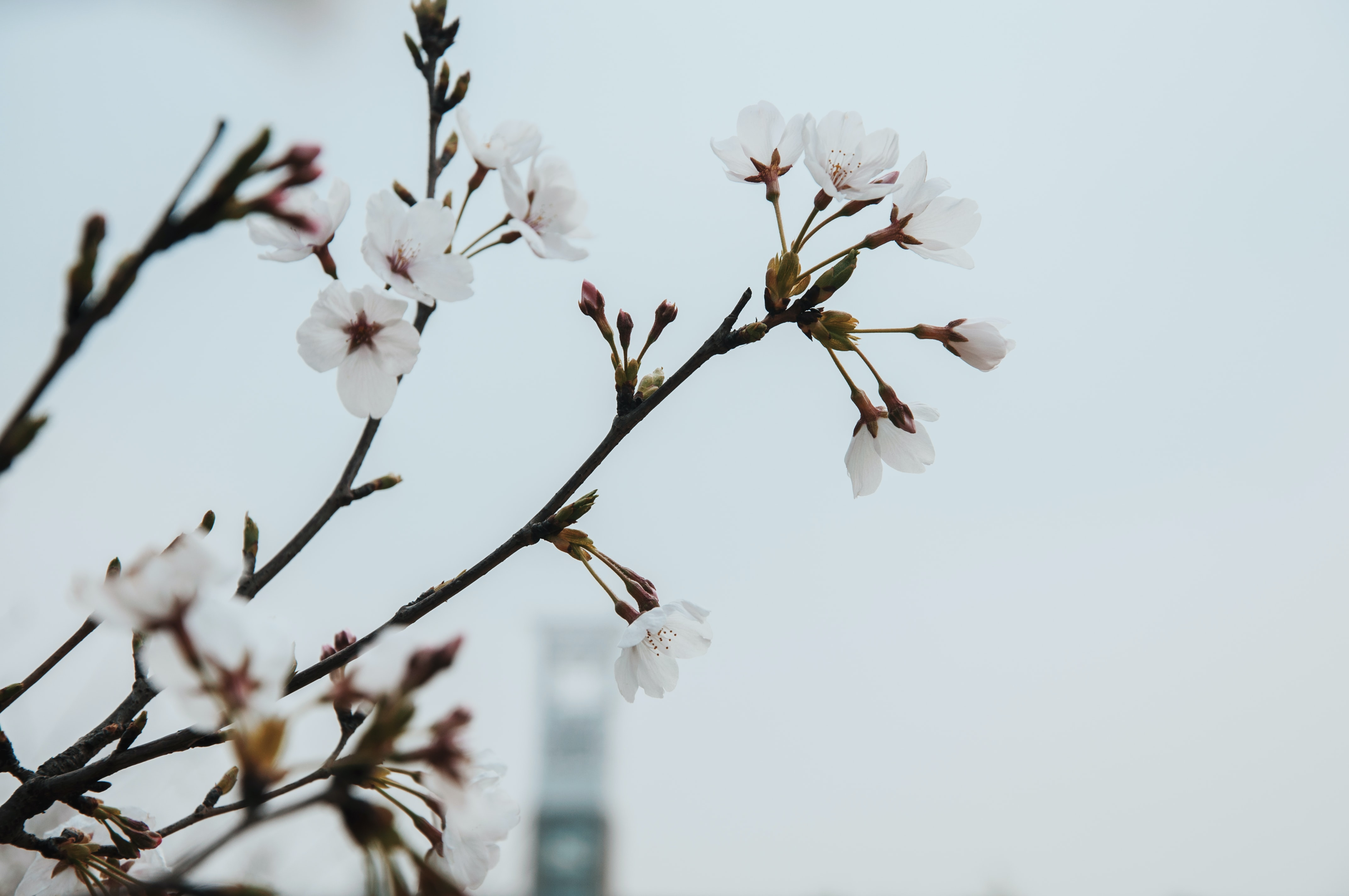 Branch with pink blossom flowers against clear sky with building in background