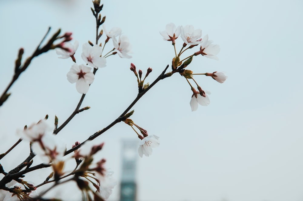 Pink blossom bg building photo by huali on unsplash branch with pink blossom flowers against clear sky with building in background mightylinksfo
