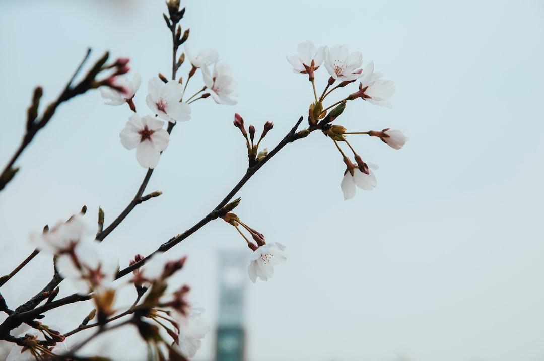 pink-blossom-bg-building