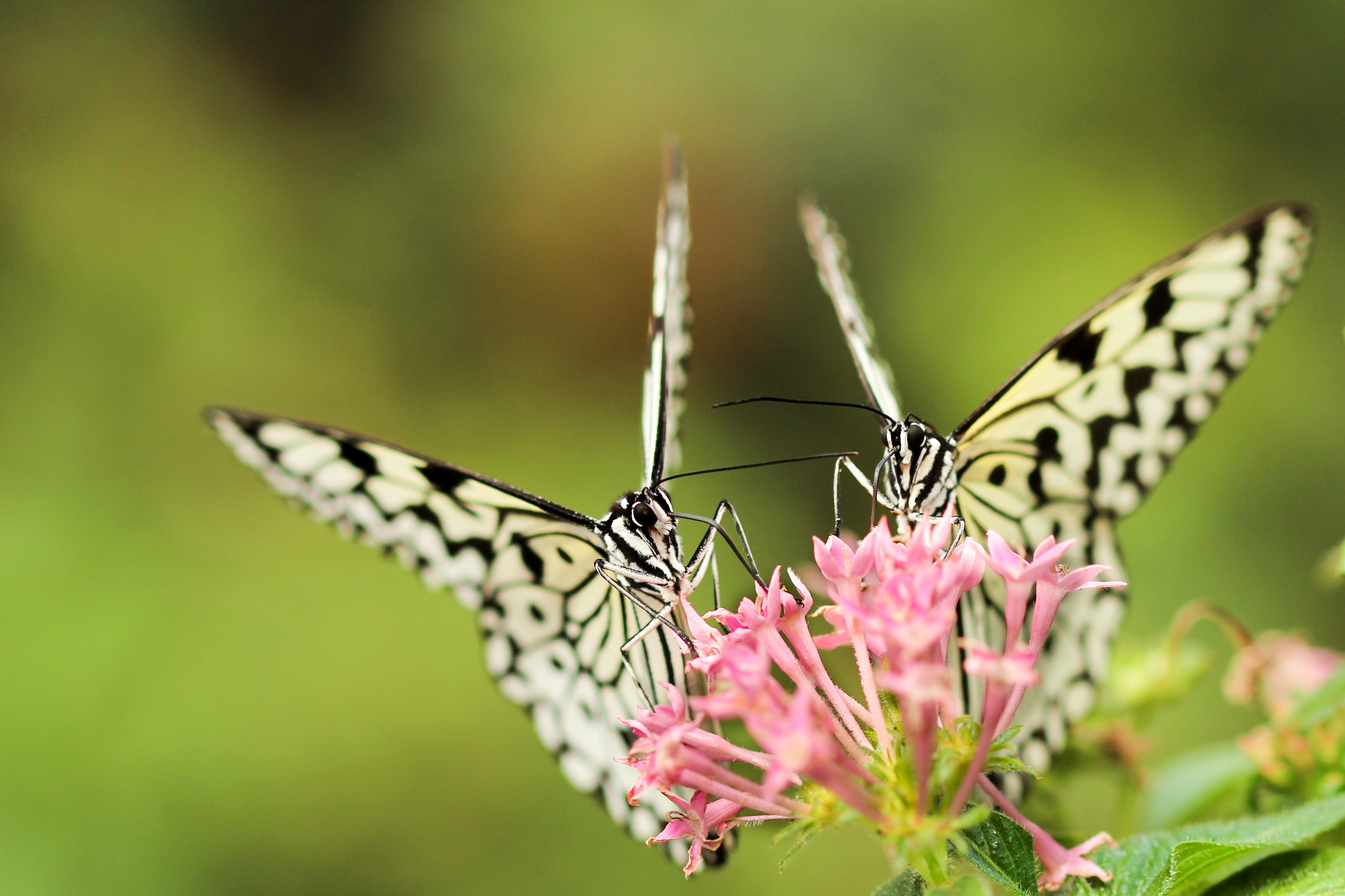 Two black-and-white butterflies on pink flowers