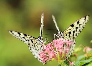 two butterflies on pink Ixoria flower