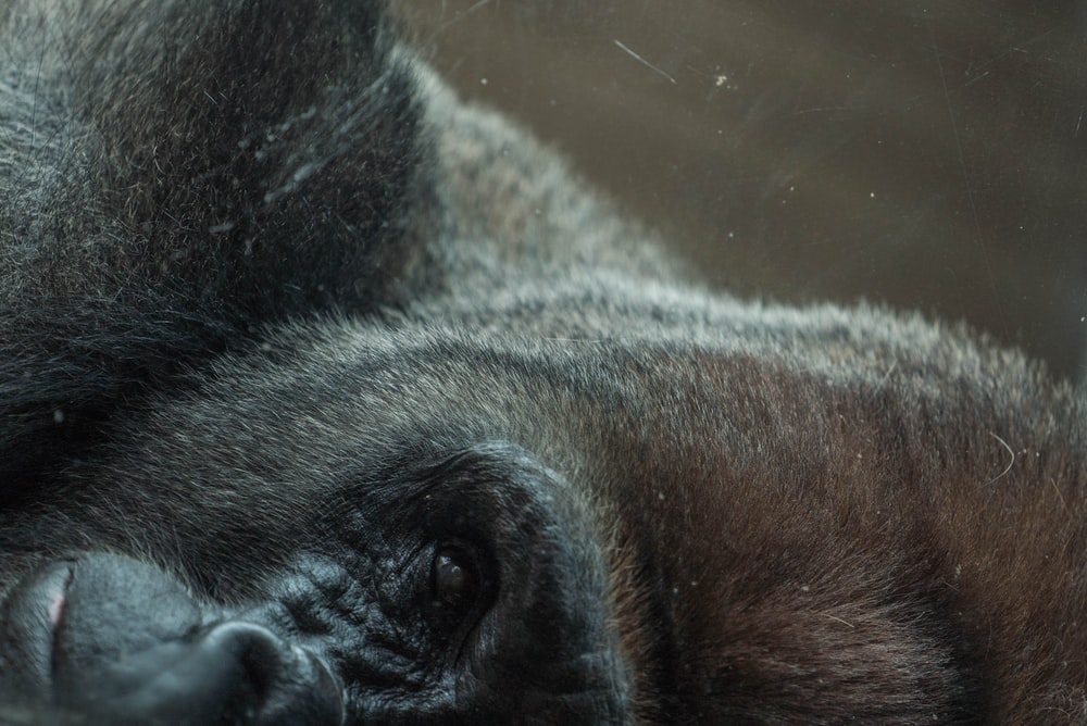 A scratched photograph of a black gorilla's face turned sideways with its eye, nose, and mouth in view