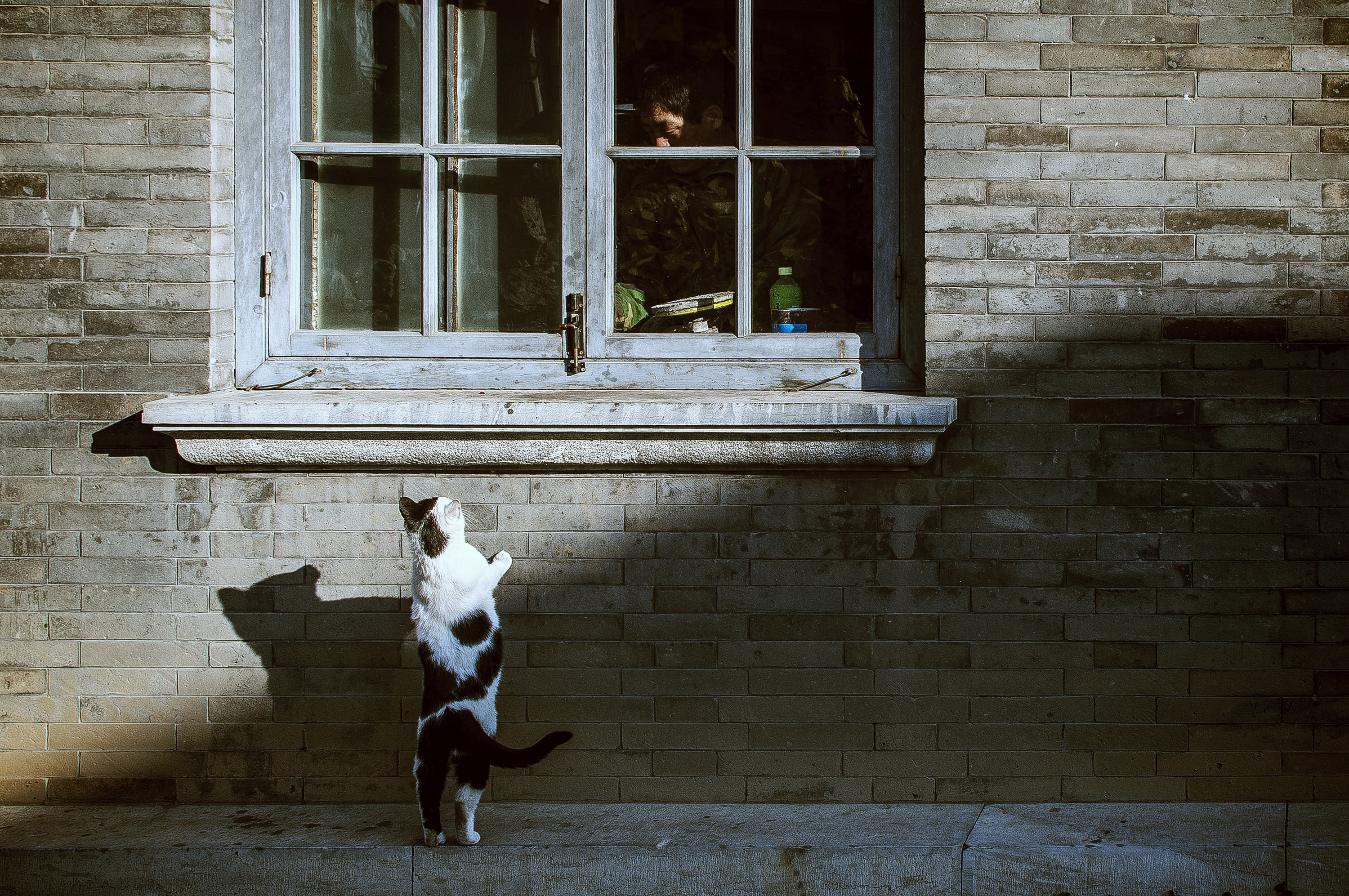 Black and white domestic cat standing against wall near window with man inside