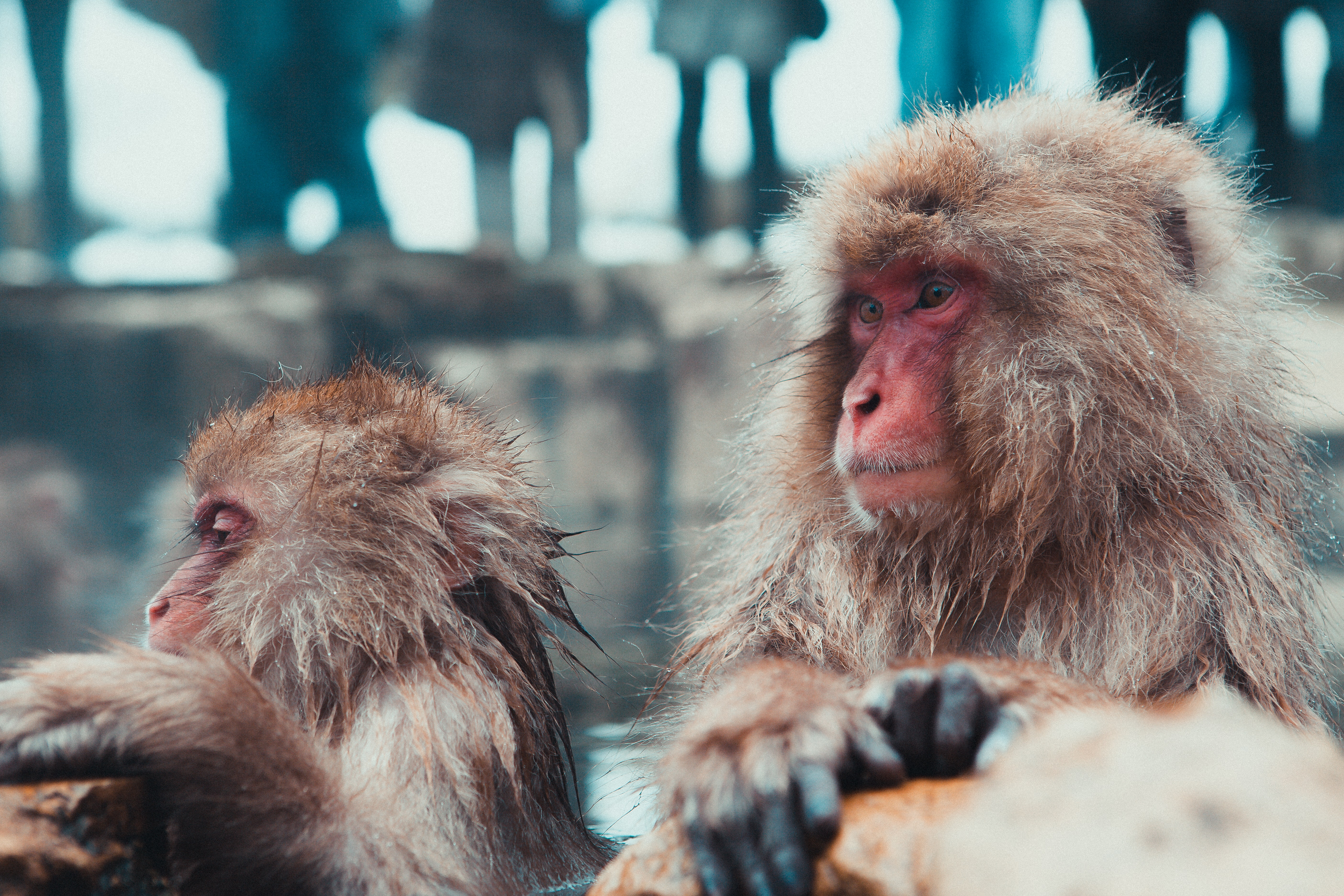 selective focus photography of two brown monkies