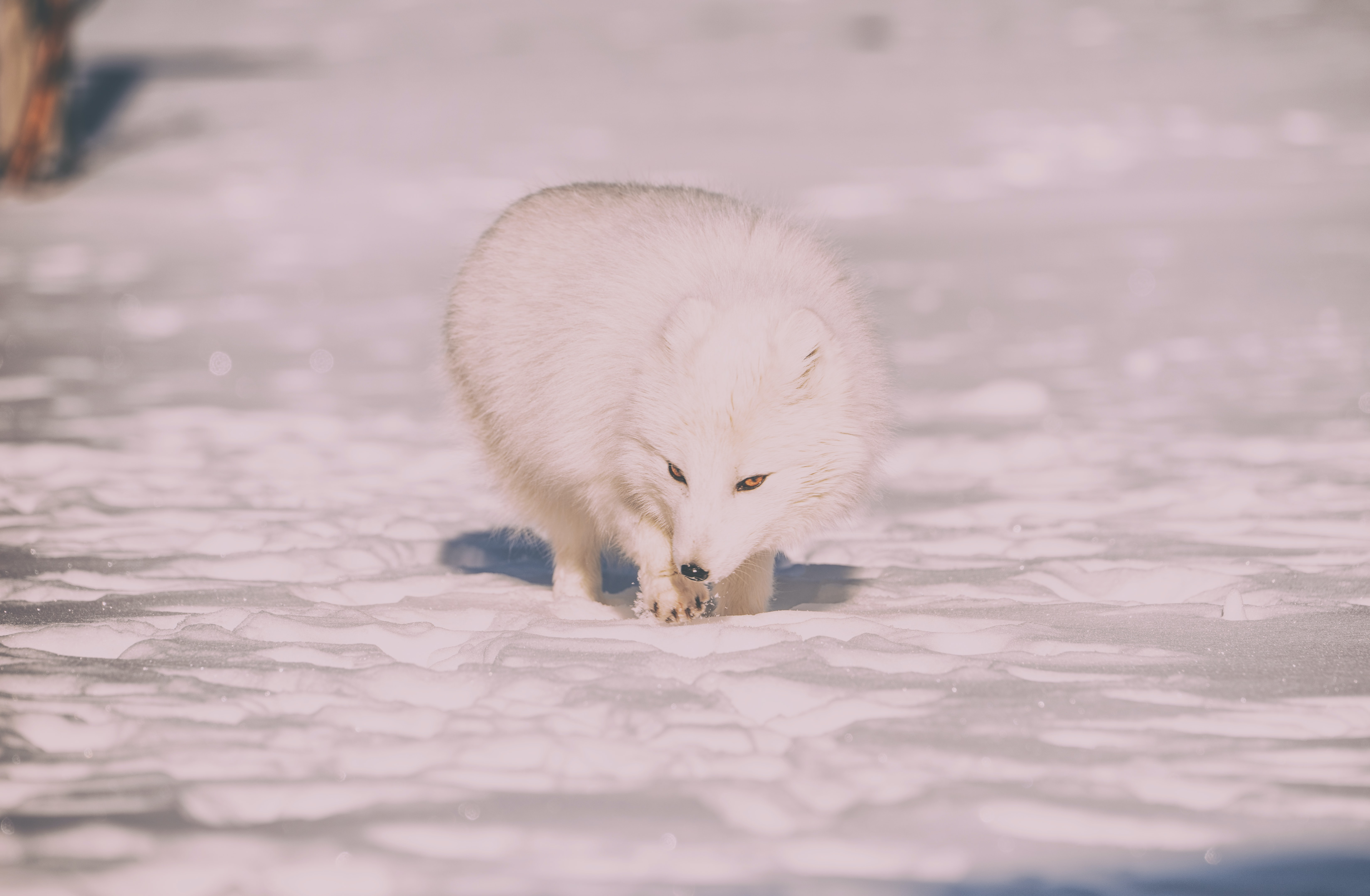 wildlife photography of white fox