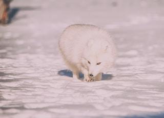 wildlife photography of white fox
