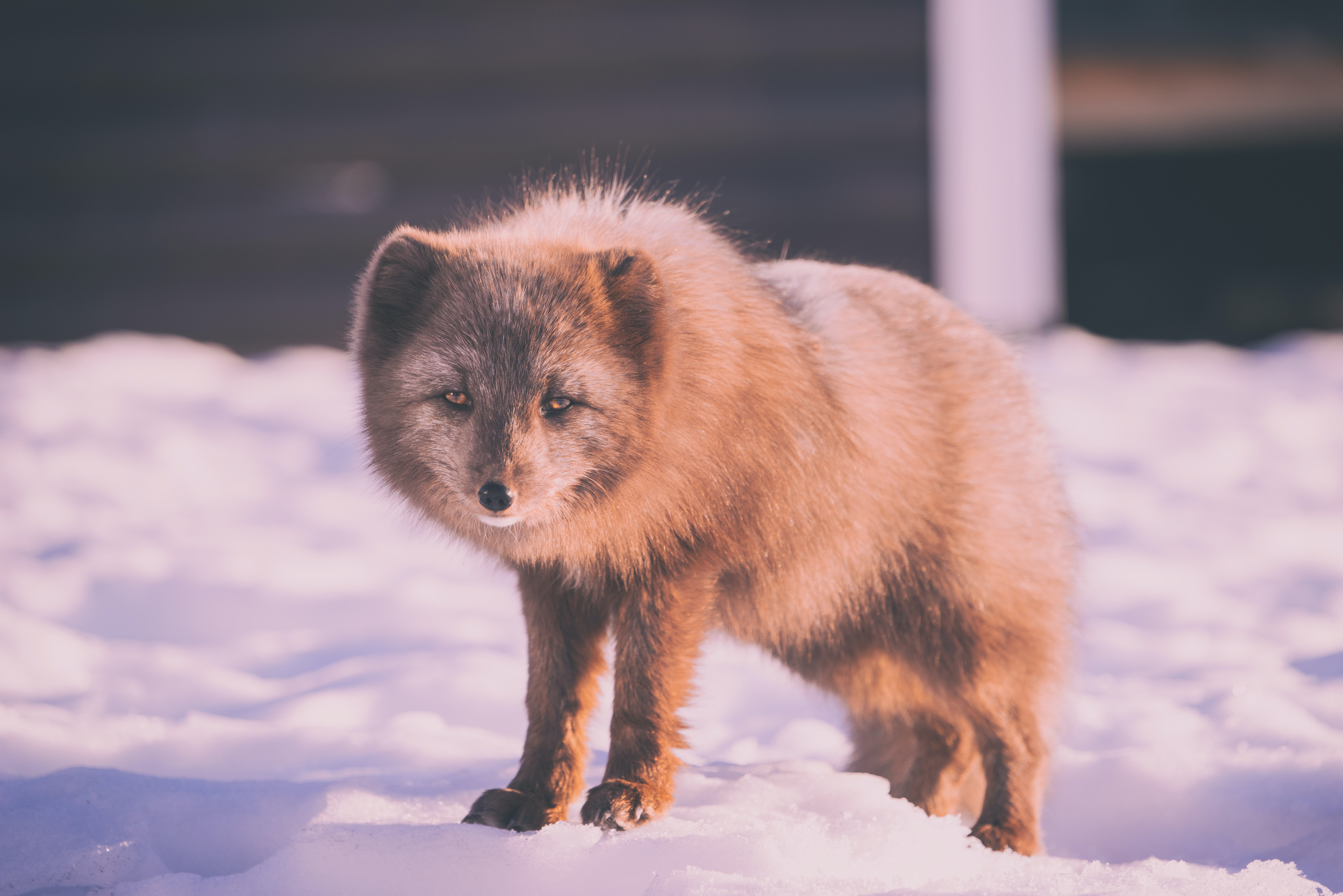 Lonely arctic fox stands on a pile of snow in the winter