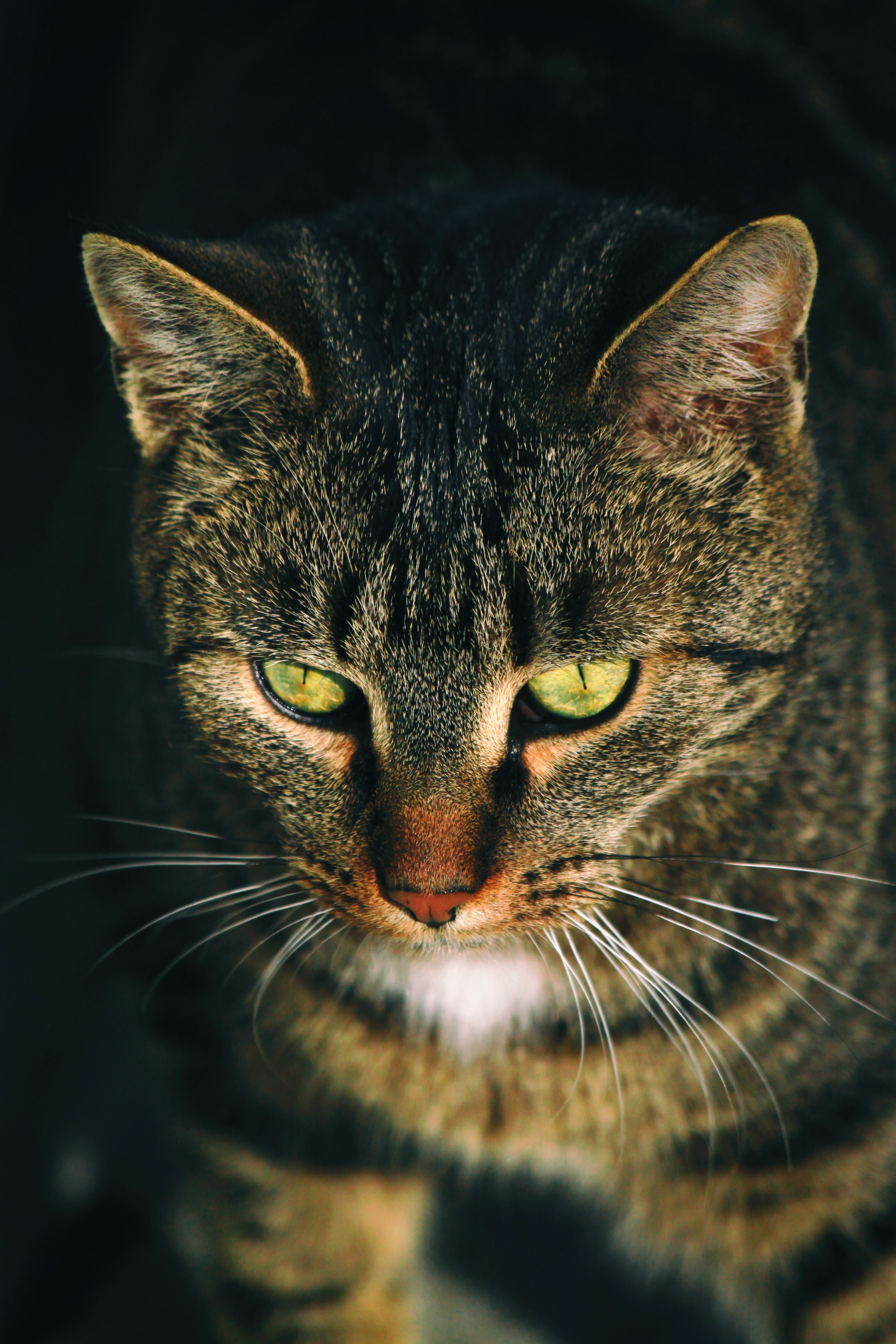 close-up photography of gray tabby cat