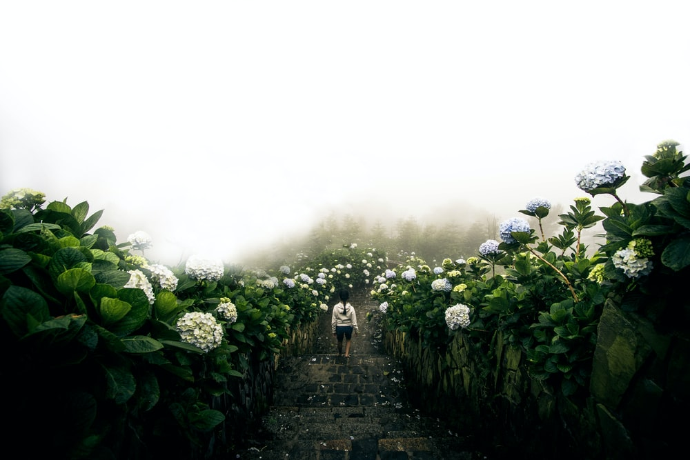 person in white jacket walking down inline of hydrangeas flower field