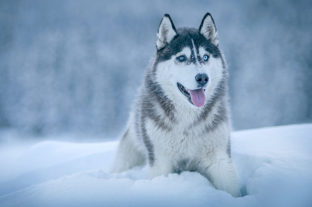 Alaskan Malamute walking on snow field