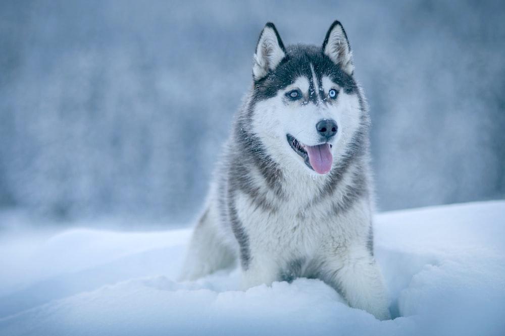 500+ Siberian Husky Wallpapers [HD