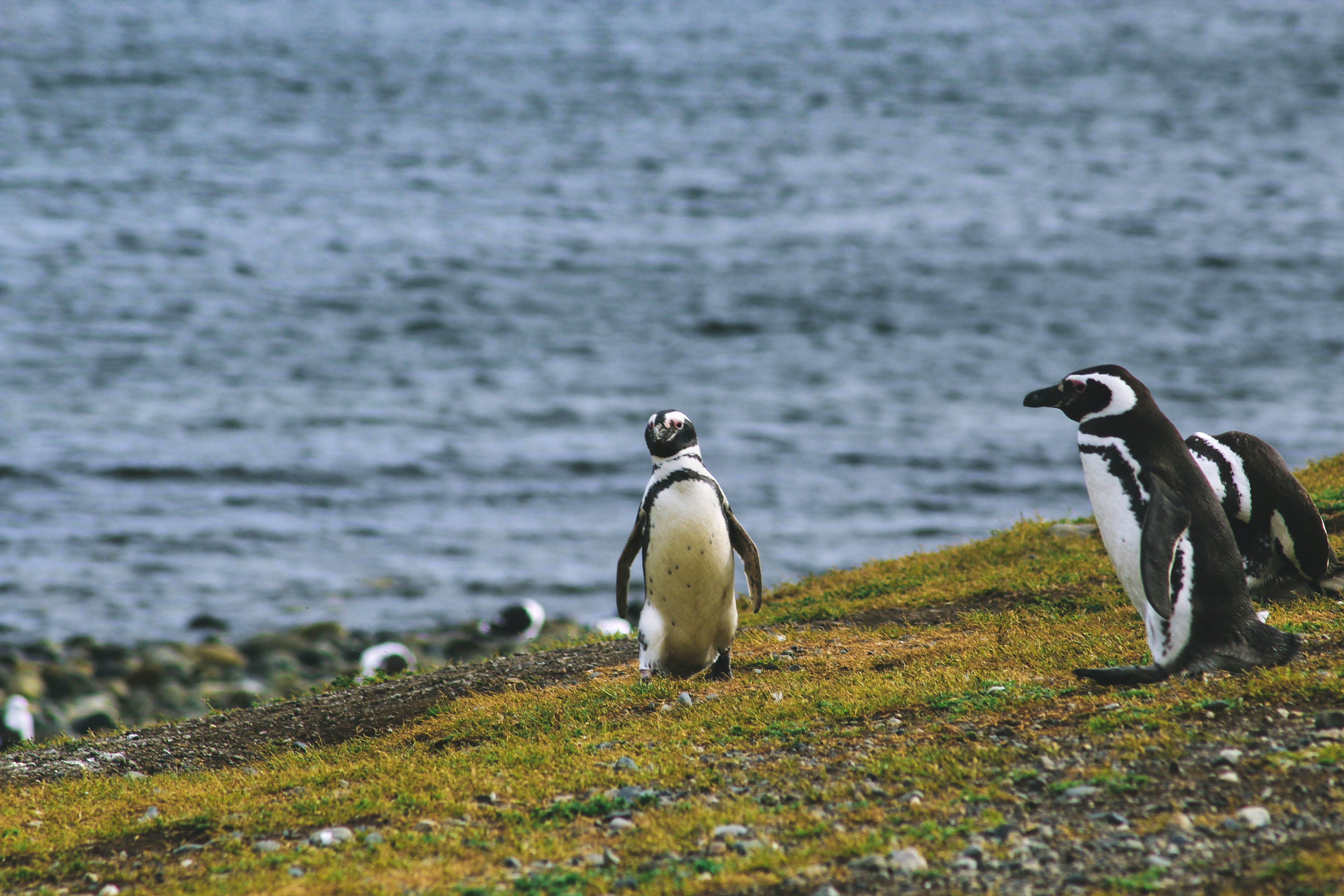 three penguins on grass field near sea