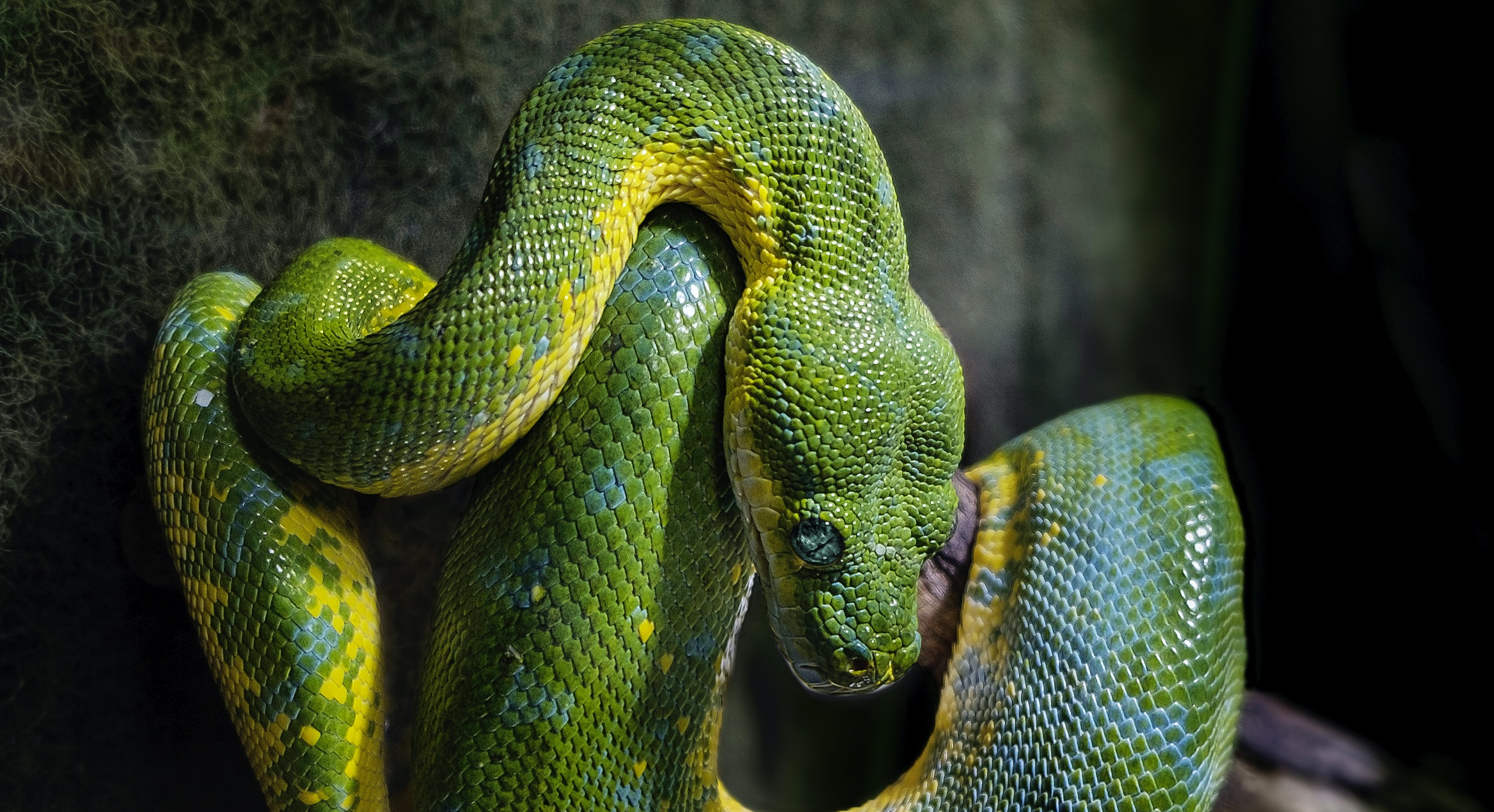 Snake with green scales coiled around a branch against a dark background