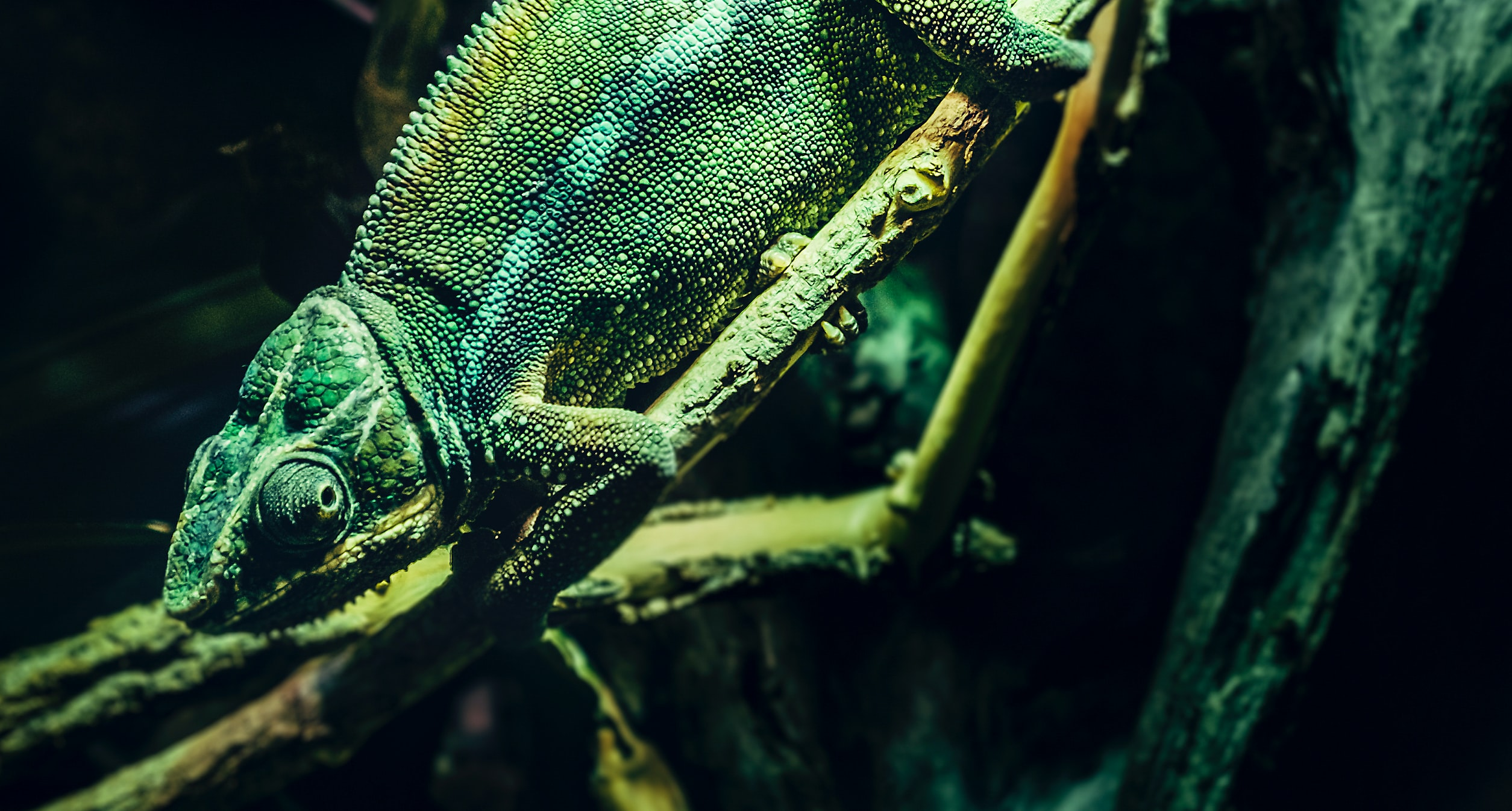 A chameleon blending into the green background