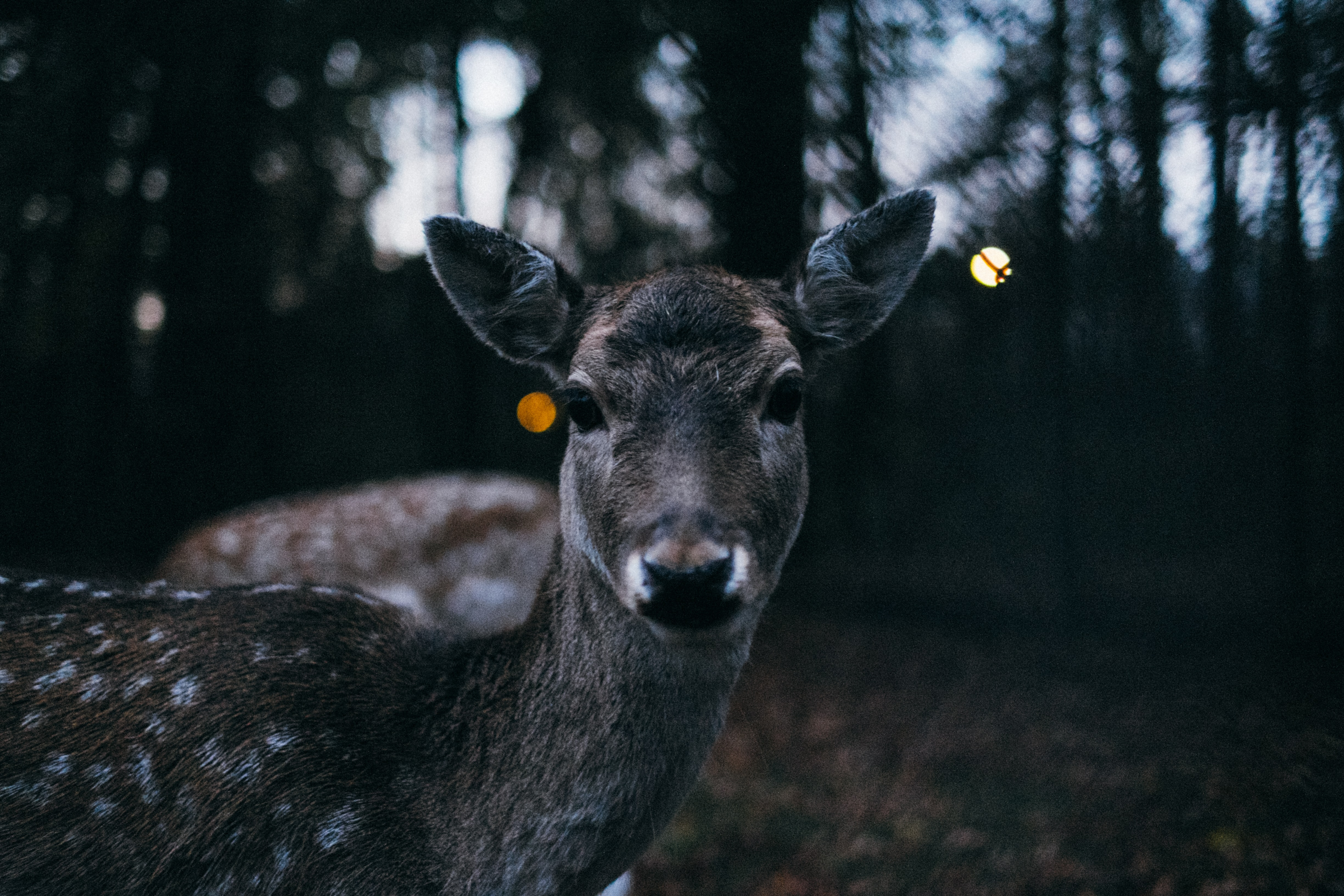 A deer in the forest looks straight forward in the light of dusk