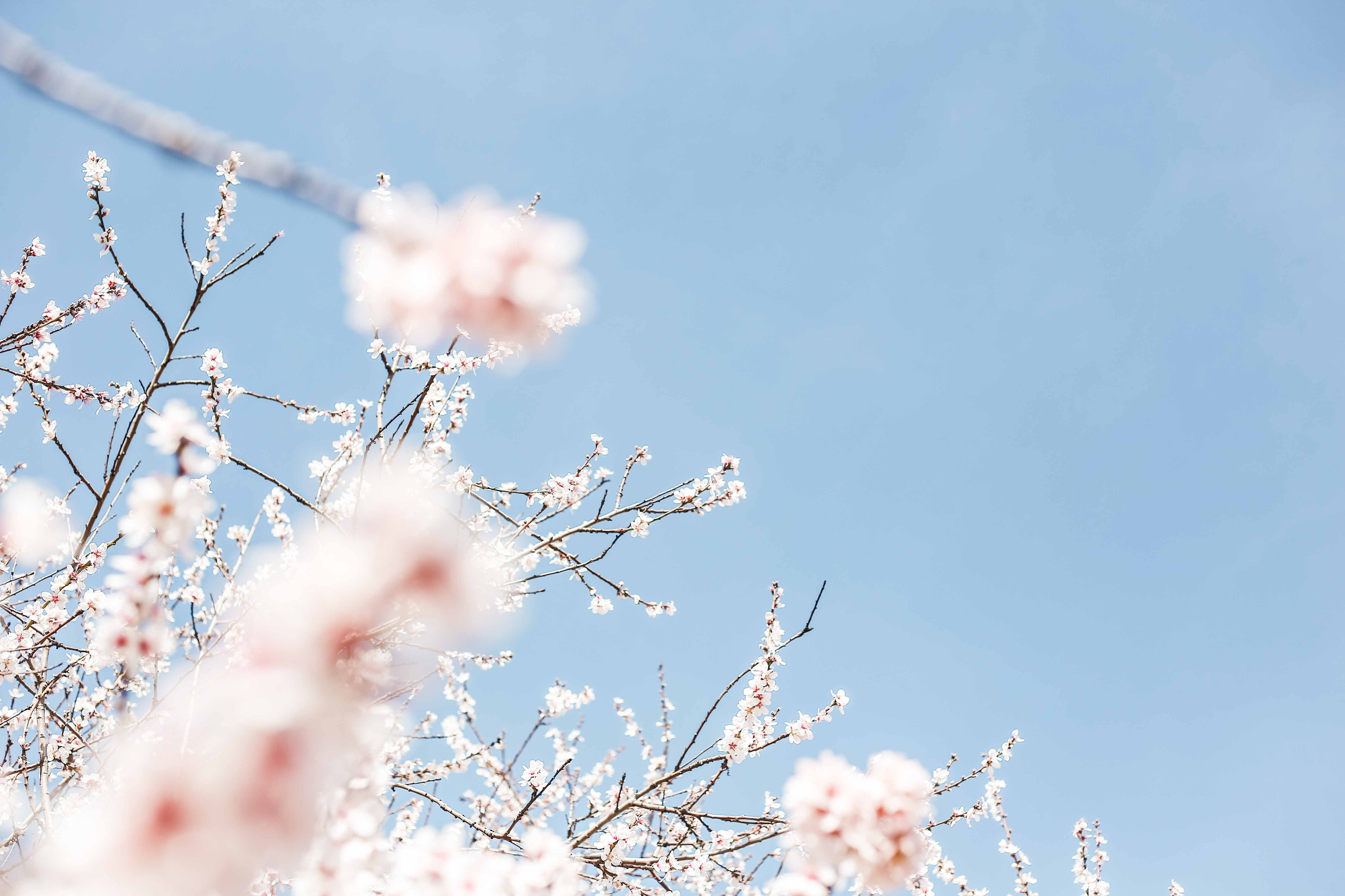 Spring blossom on tree branch against clear blue sky background, Madrid