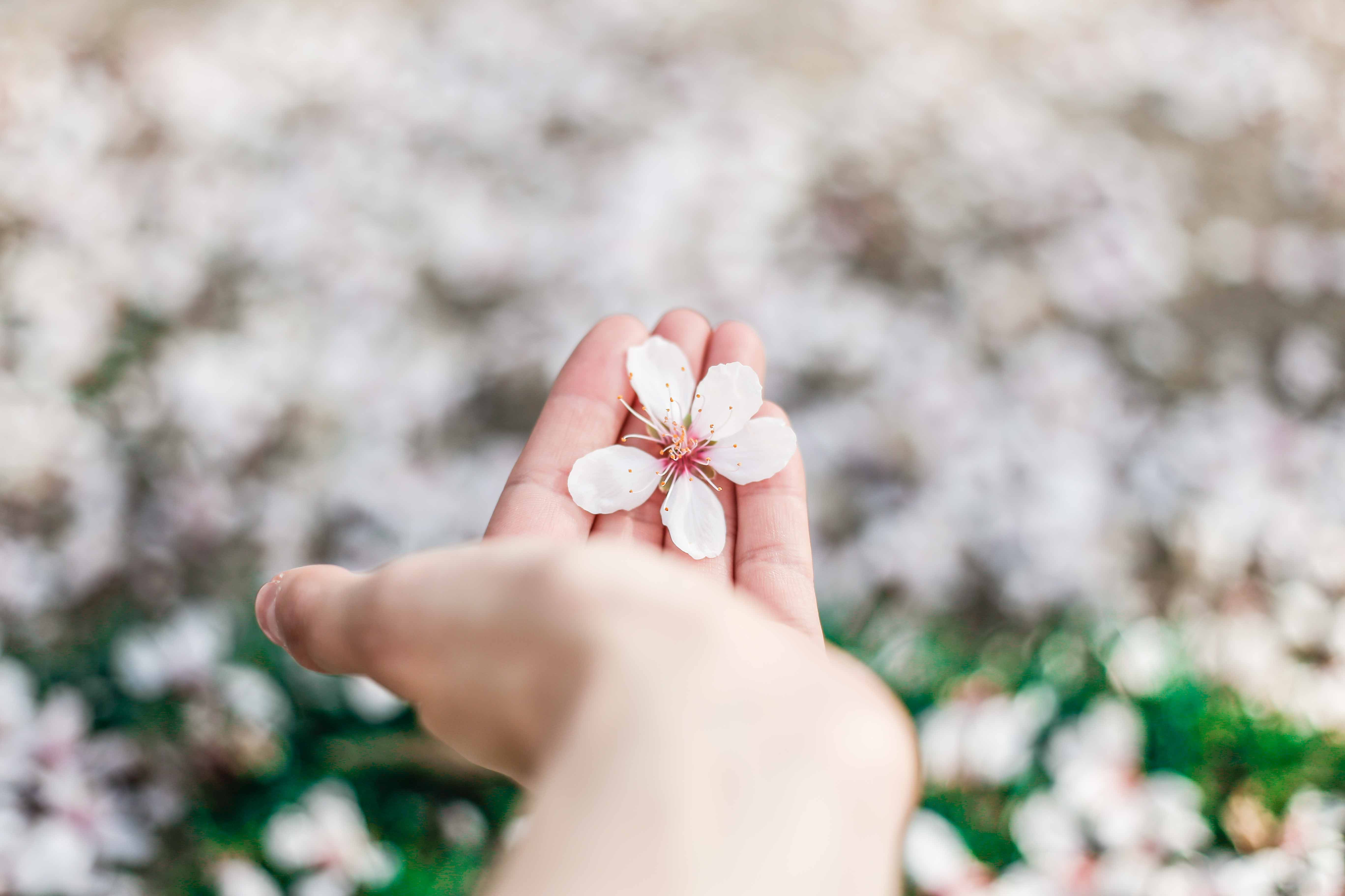 Hand holding cherry blossom with blossom on grass lawn below, Madrid