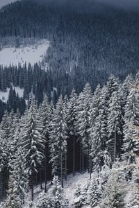 aerial photography of pine trees covered with snow