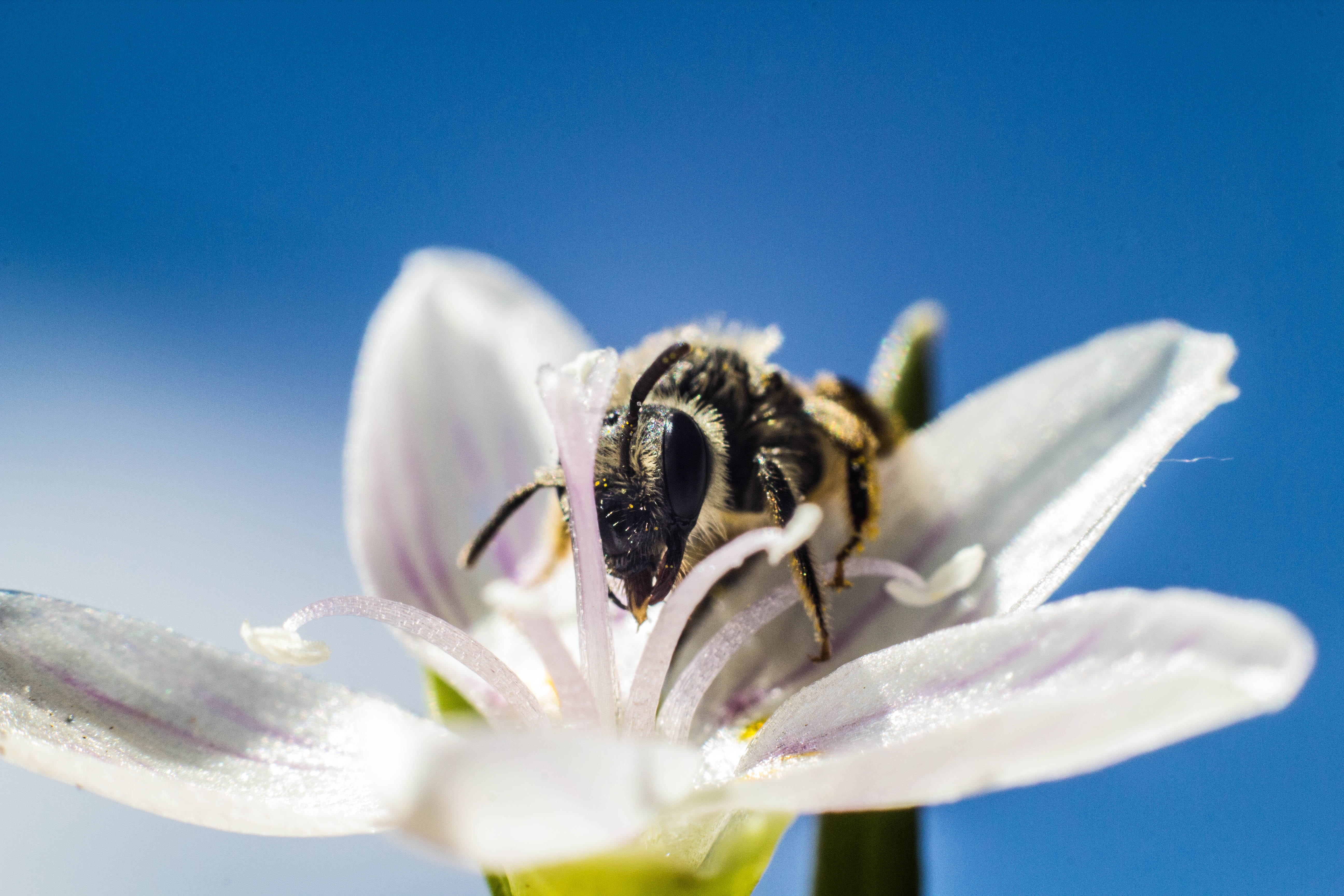 A macro shot of a bee crawling inside a white flower to collect is pollen