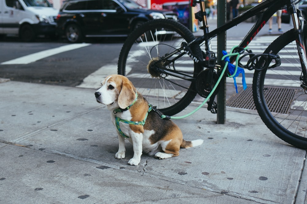 brown and white Beagle puppy corded to bicycle beside street