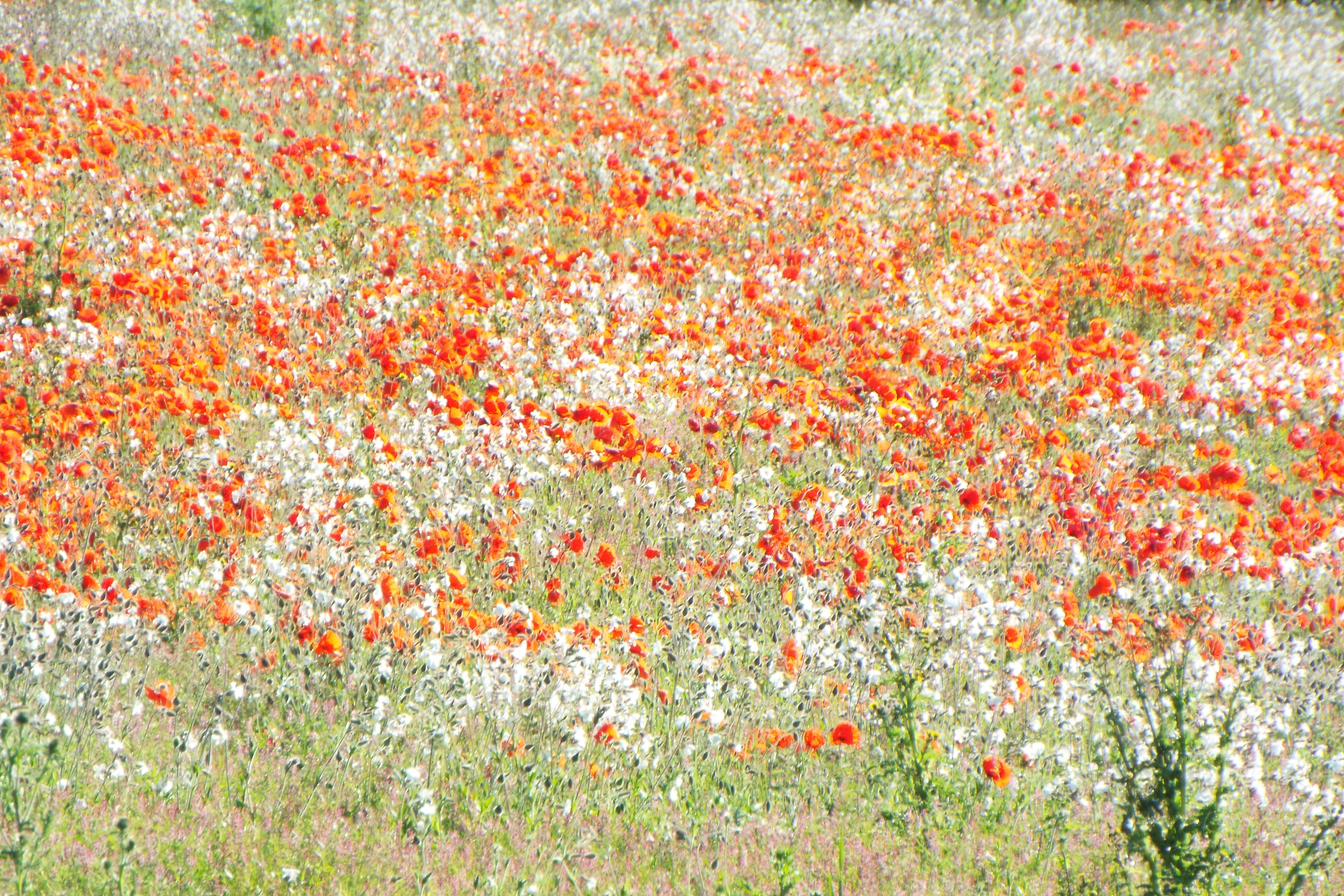 A vast field of white and red flowers