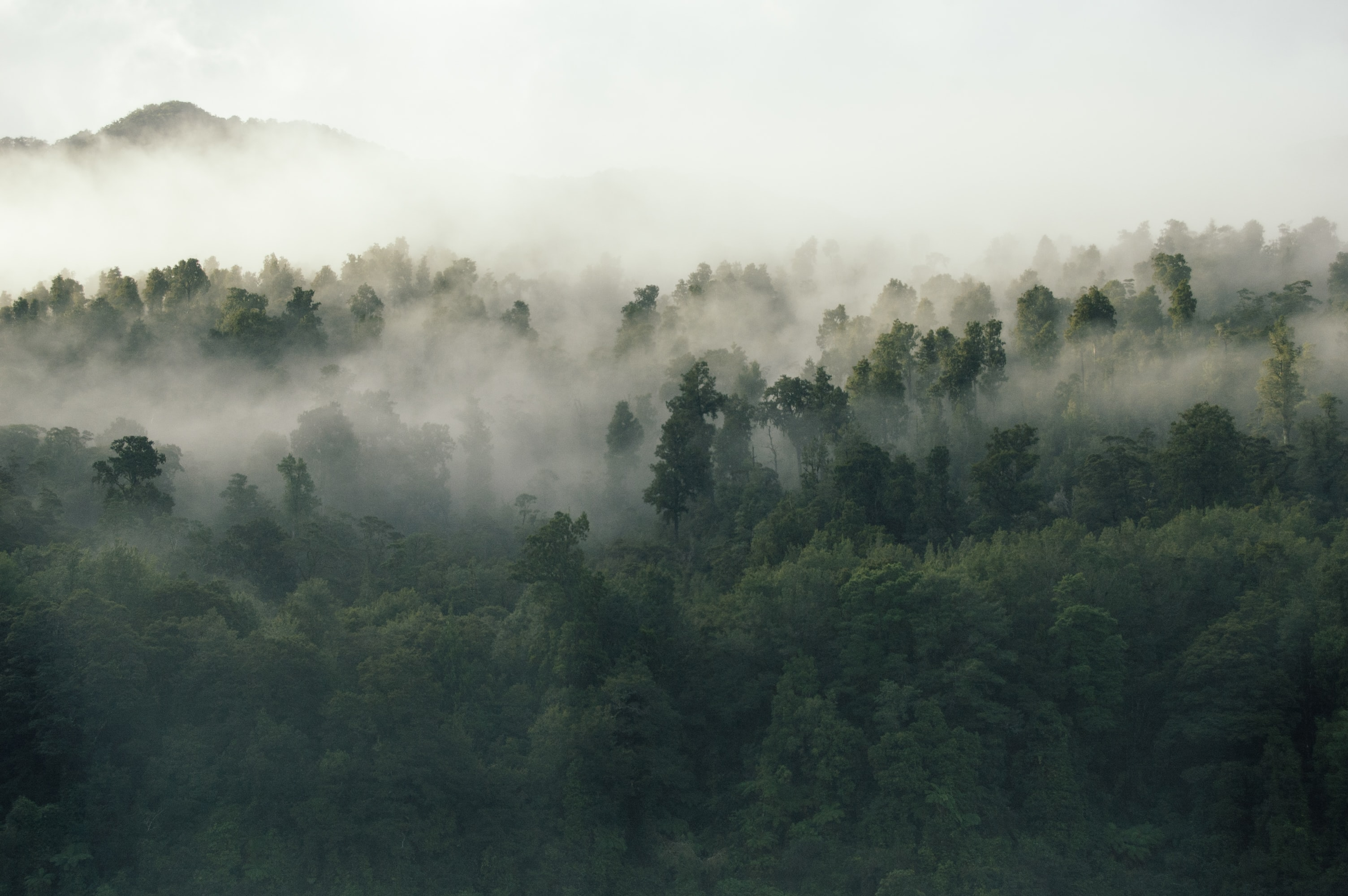 A green forest in New Zealand shrouded in dense fog