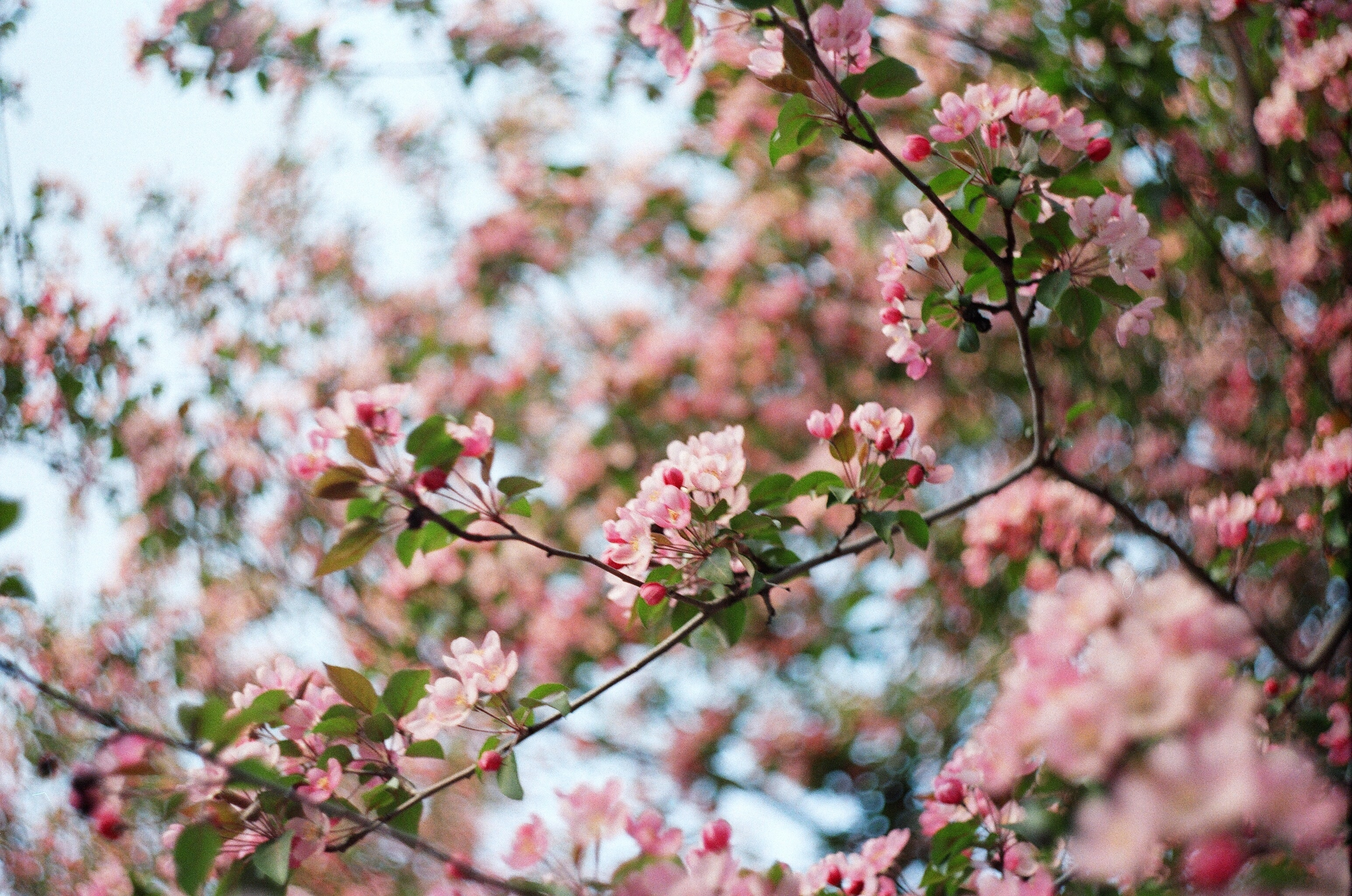 Pink blossom branch against clear blue sky in Novosibirsk