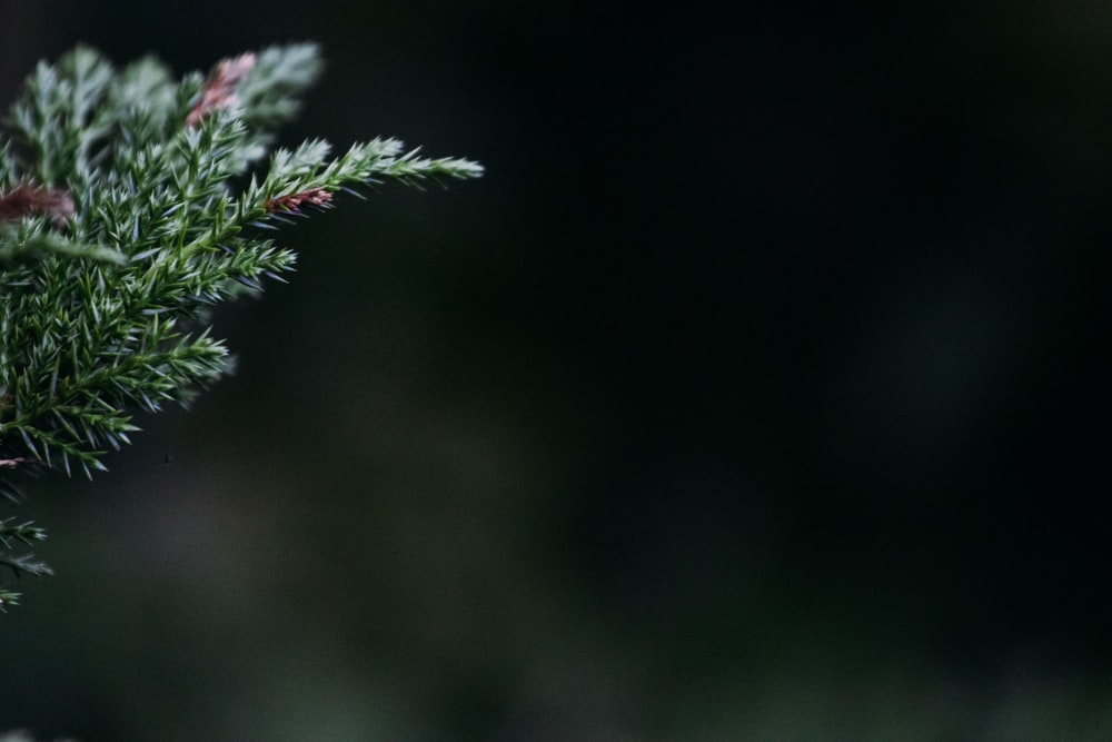 selective focus photography of green pine tree leaf
