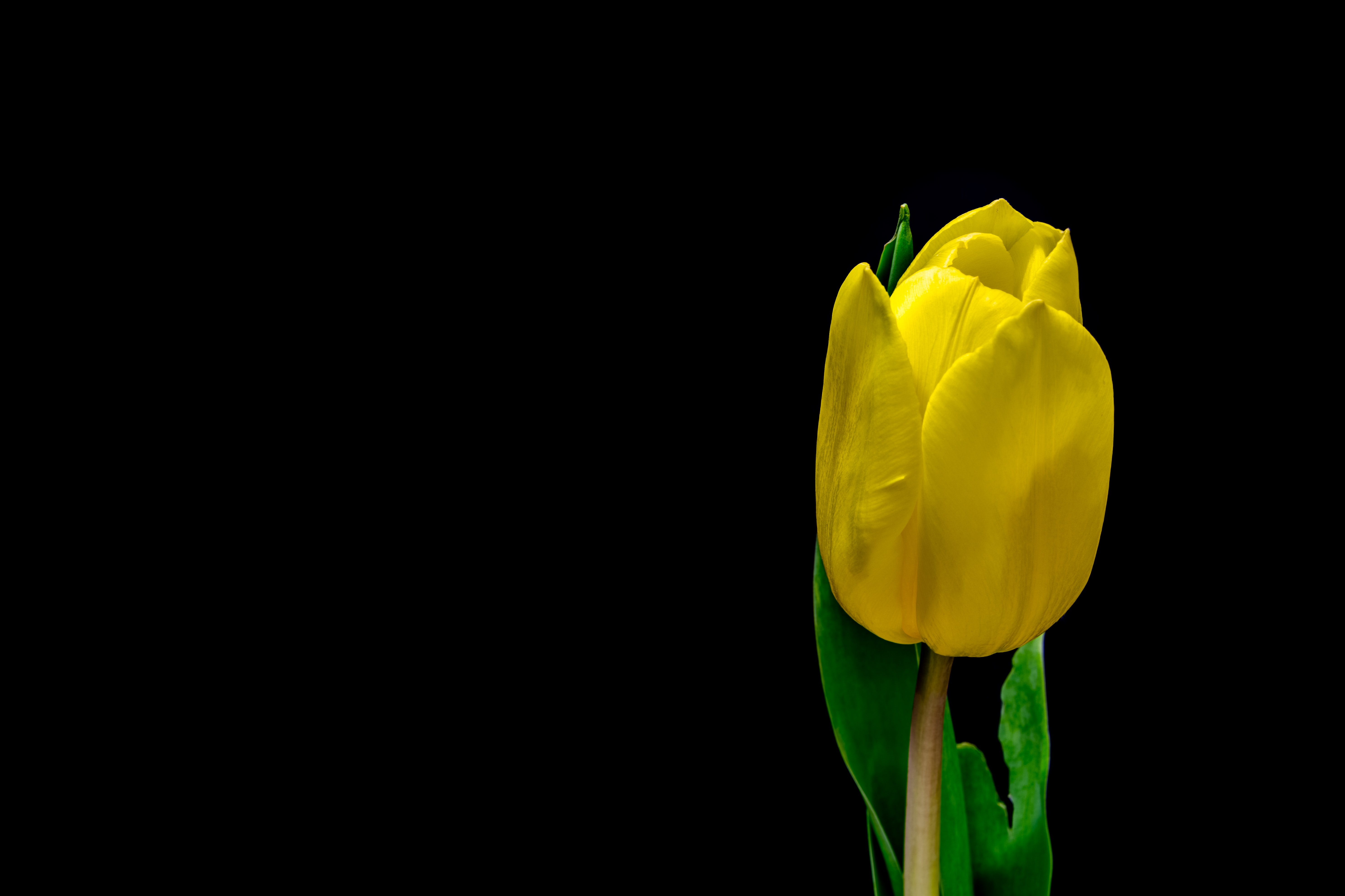 Yellow tulip growing against a black background