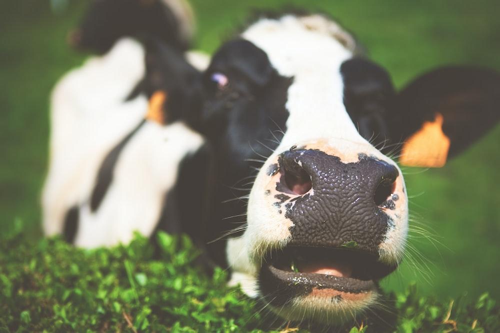closeup photo of cow