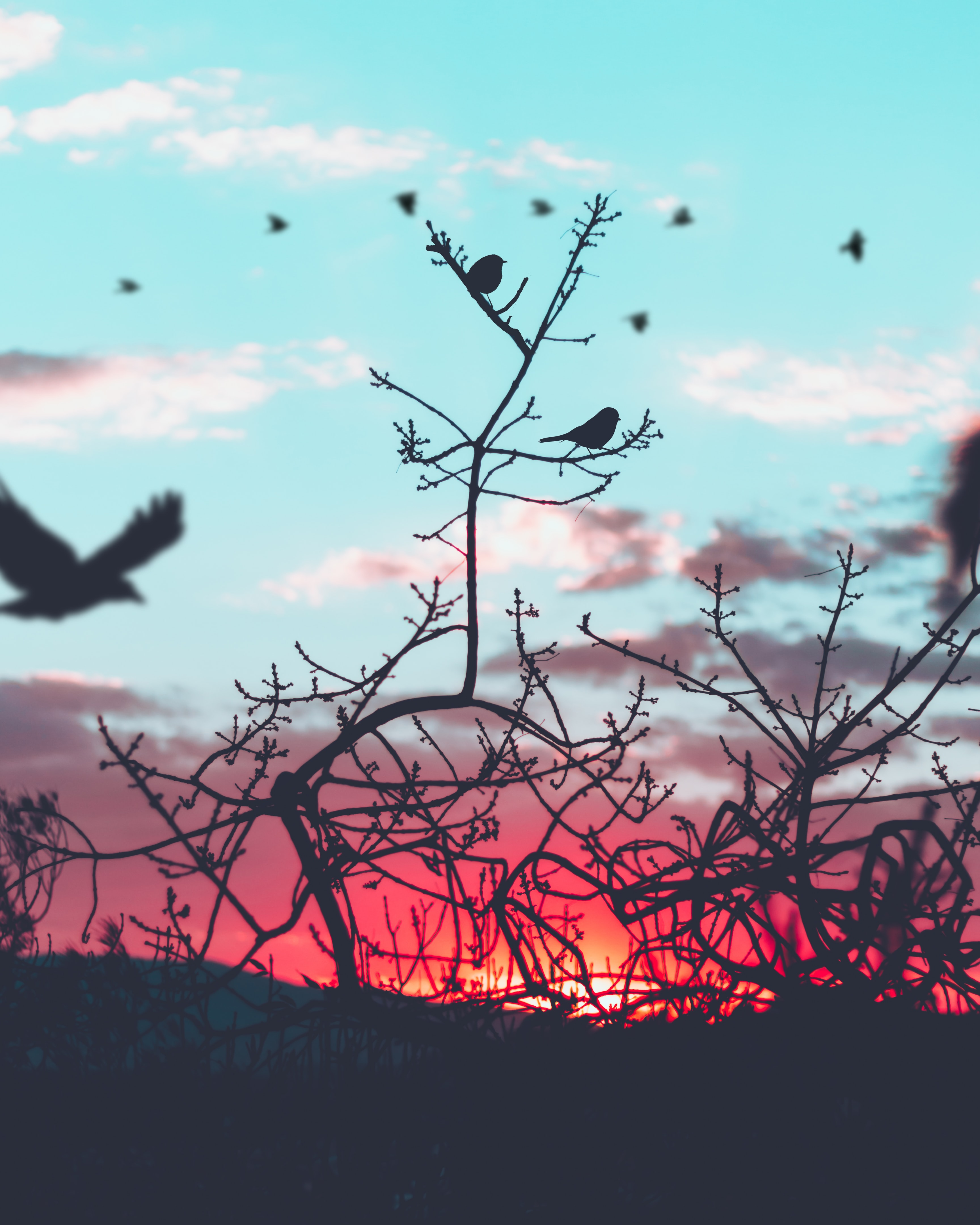 Silhouette birds perched on tree branch, backed by a light blue sky with pick, sun-kissed clouds at sunrise-or-sunset in Toluca
