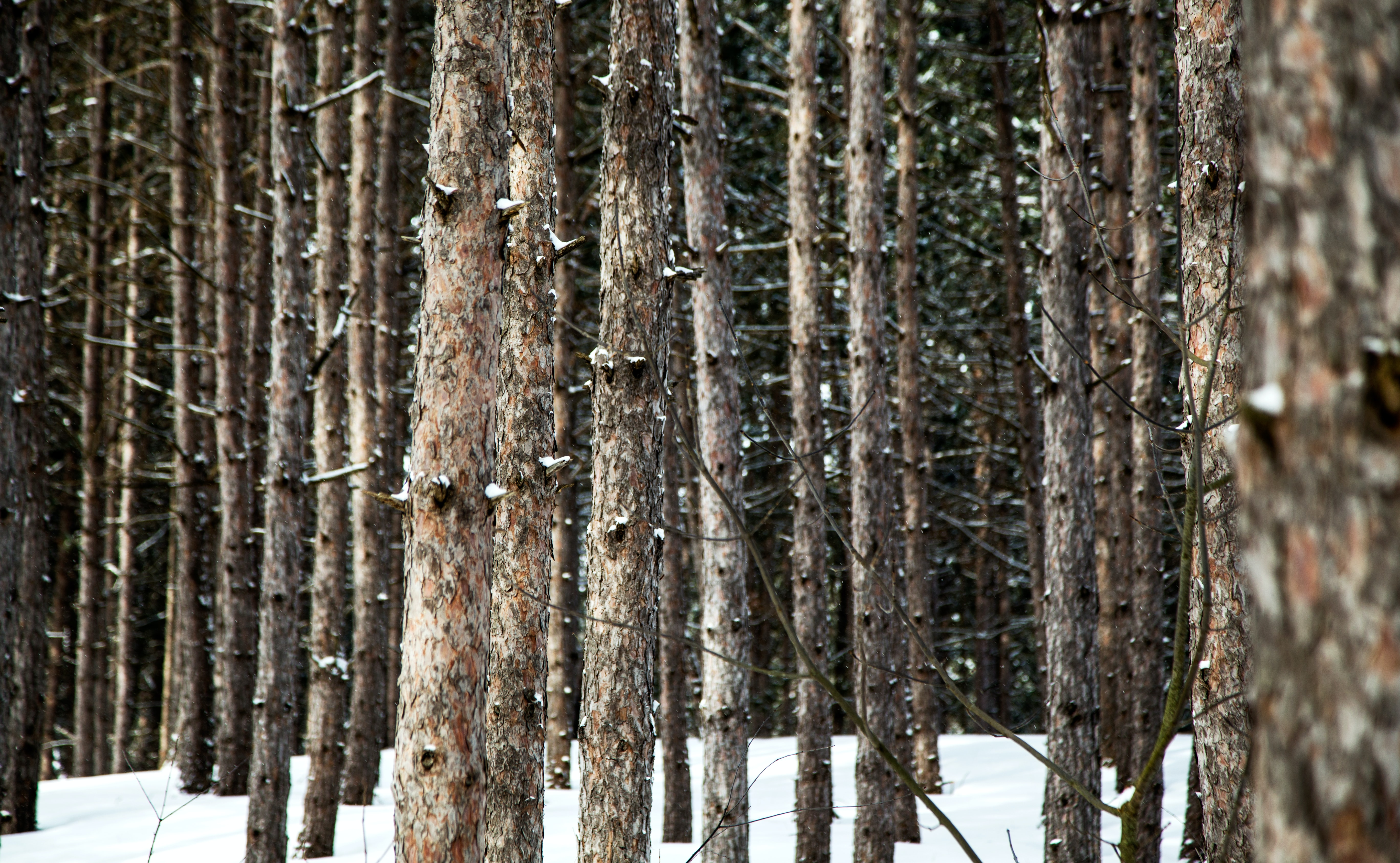 A collection of skinny trees next to each other in the snow covered forest.