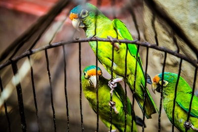 three green parakeets inside on black cage nicaragua teams background