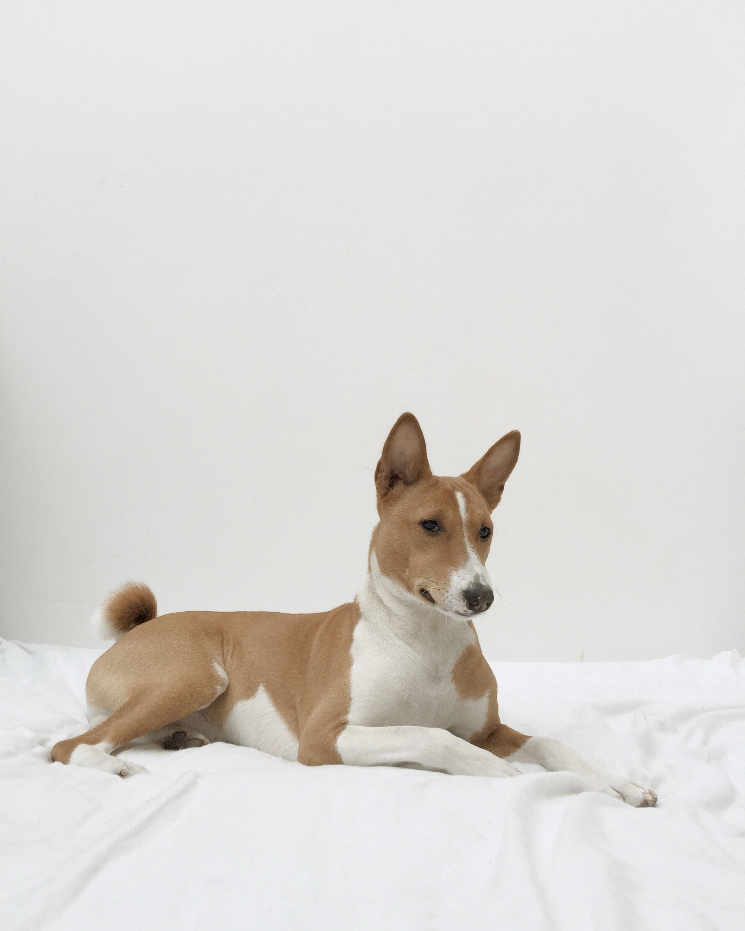 A brown and white dog sitting on a white blanket.