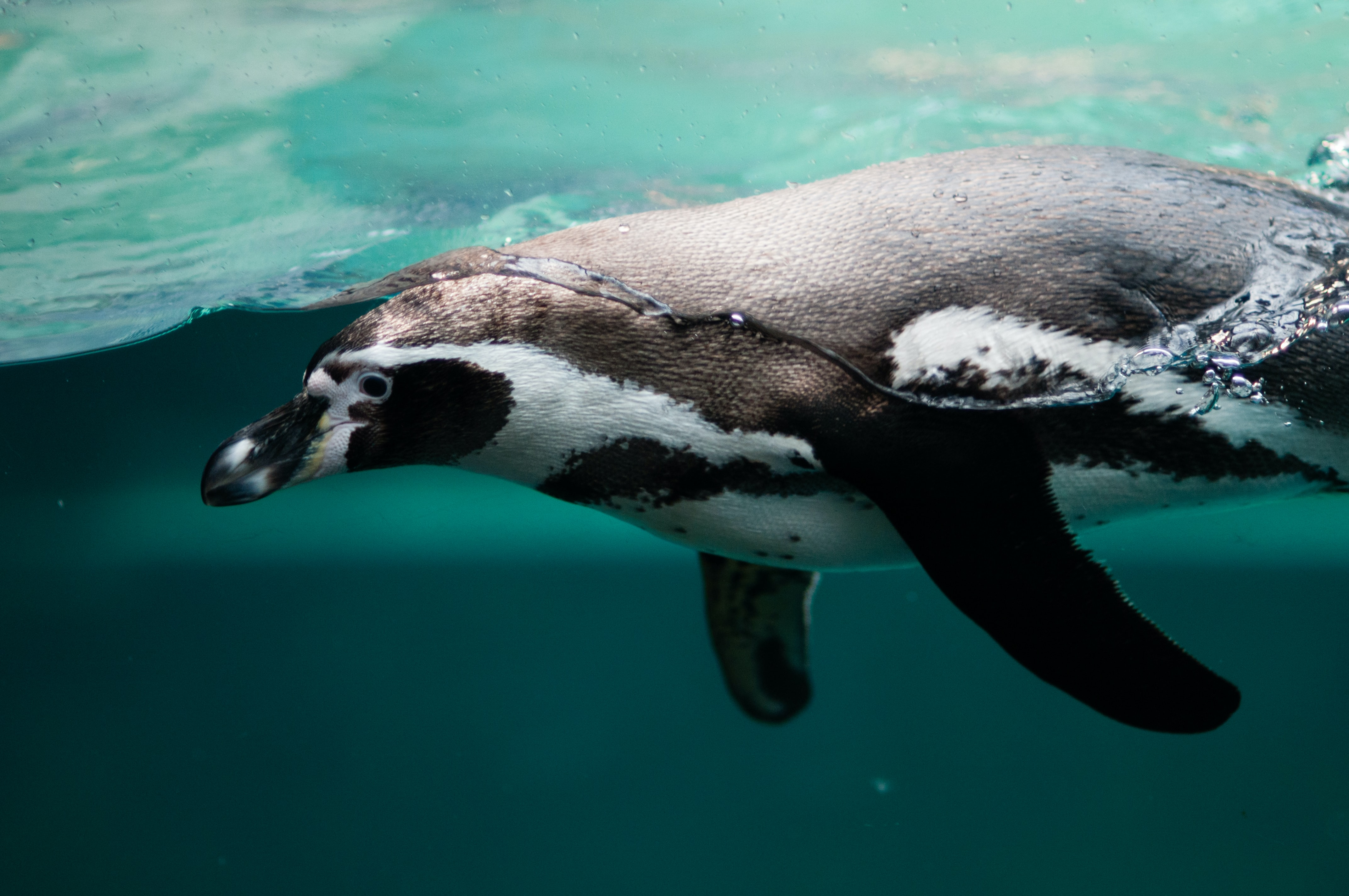 photo of penguin on body of water