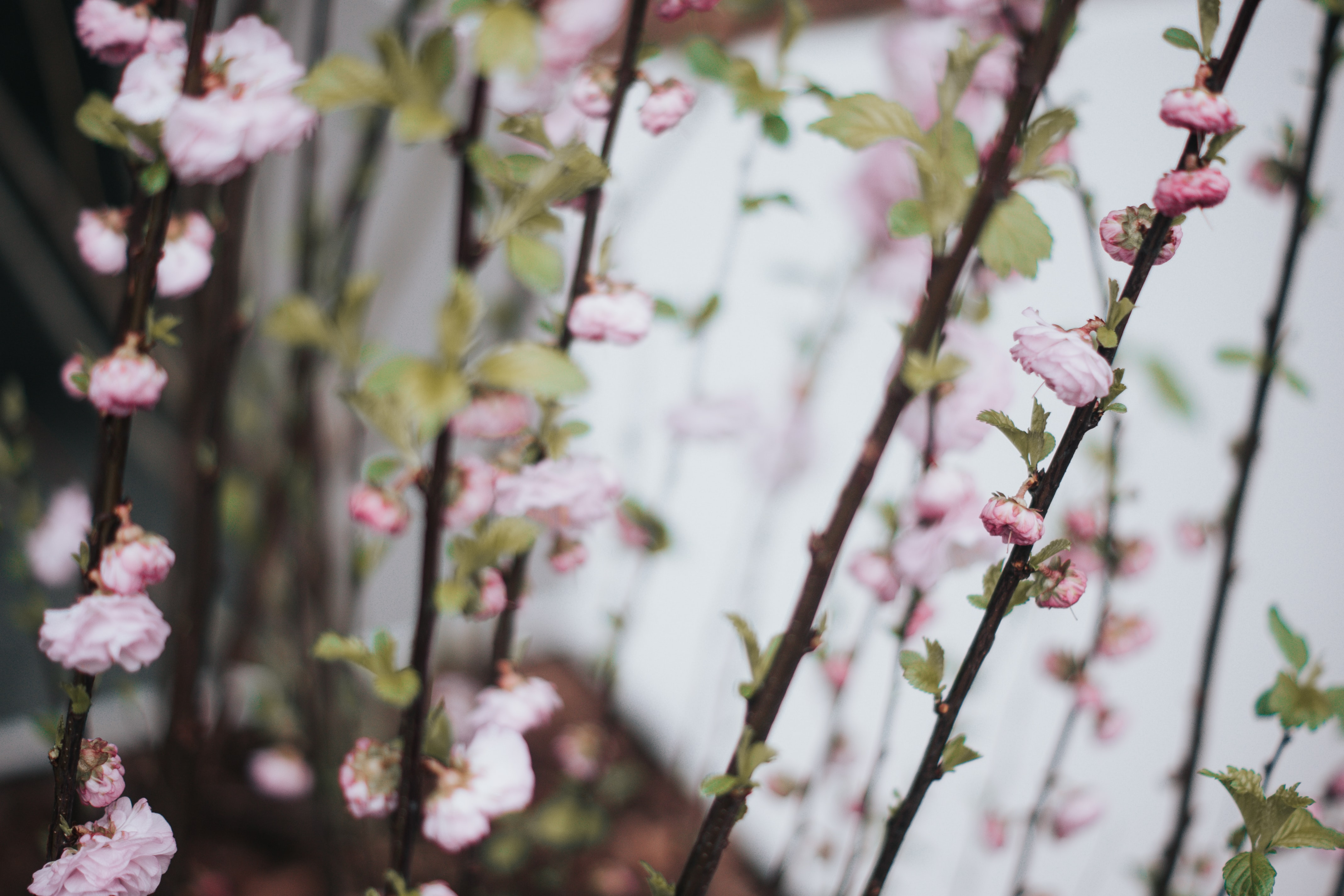 Close-up of pink blossom and flower buds on straight tree branches